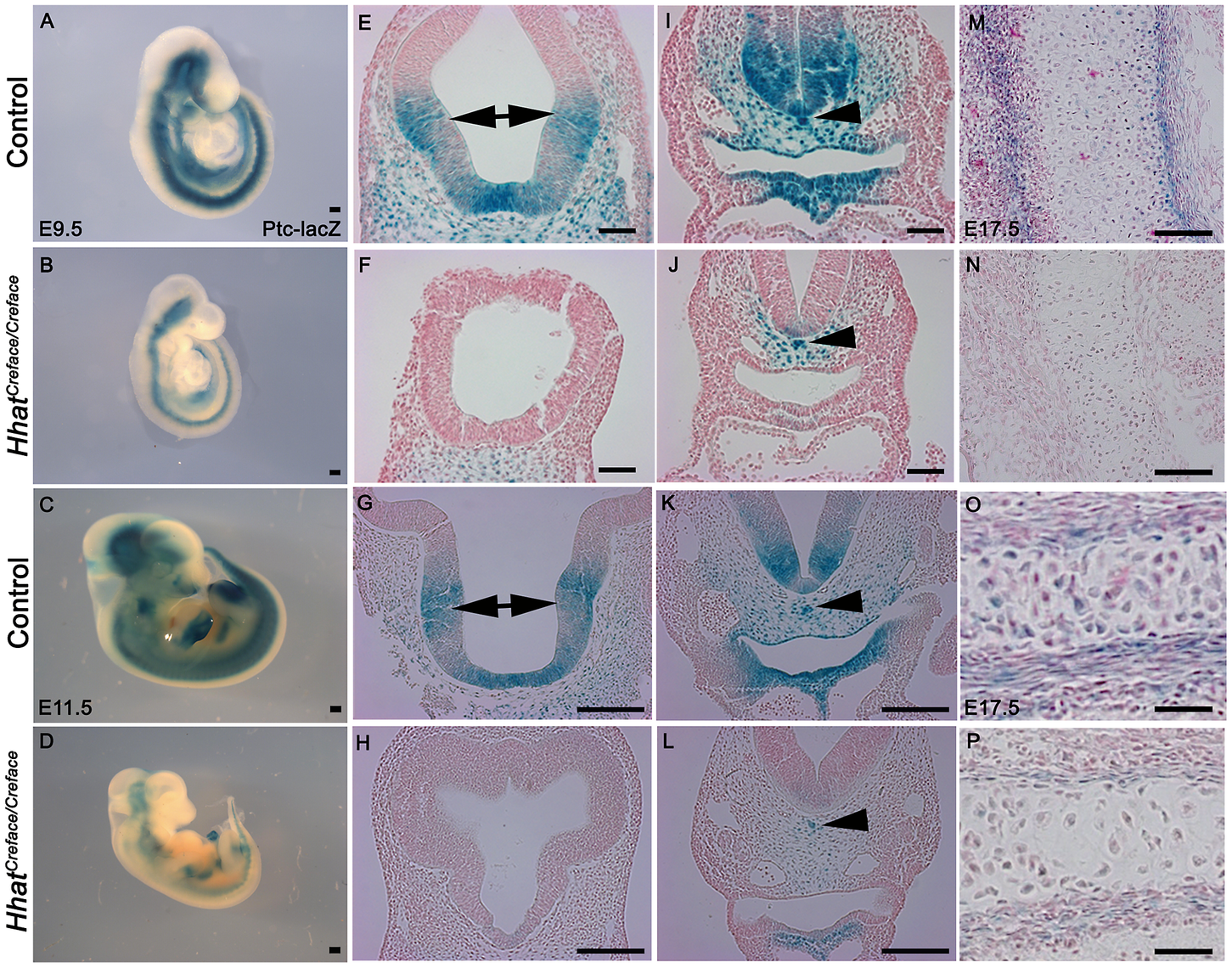 <i>Patched (Ptch1)</i> activation is diminished in <i>Hhat<sup>Creface/Creface</sup></i> embryos.