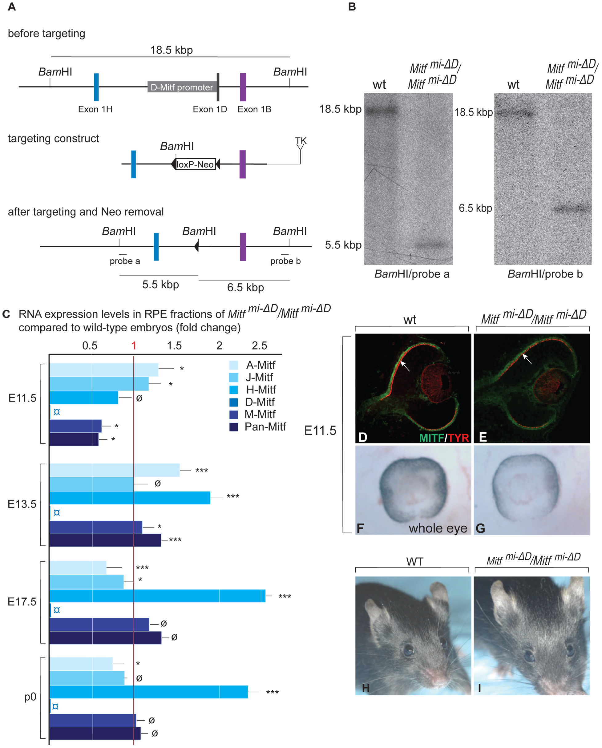 Generation and analysis of mice lacking the RPE–specific <i>D-isoform</i> of <i>Mitf</i> (<i>Mitf<sup>mi-<i>Δ</i>D</sup>/Mitf<sup>mi-<i>Δ</i>D</sup></i>).
