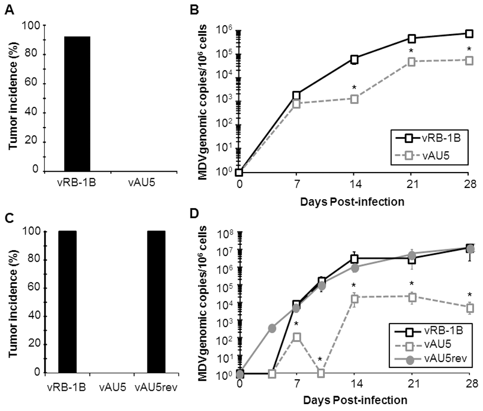Tumor induction and <i>in vivo</i> replication of MDV harboring mutant template sequence (AU5) vTR.