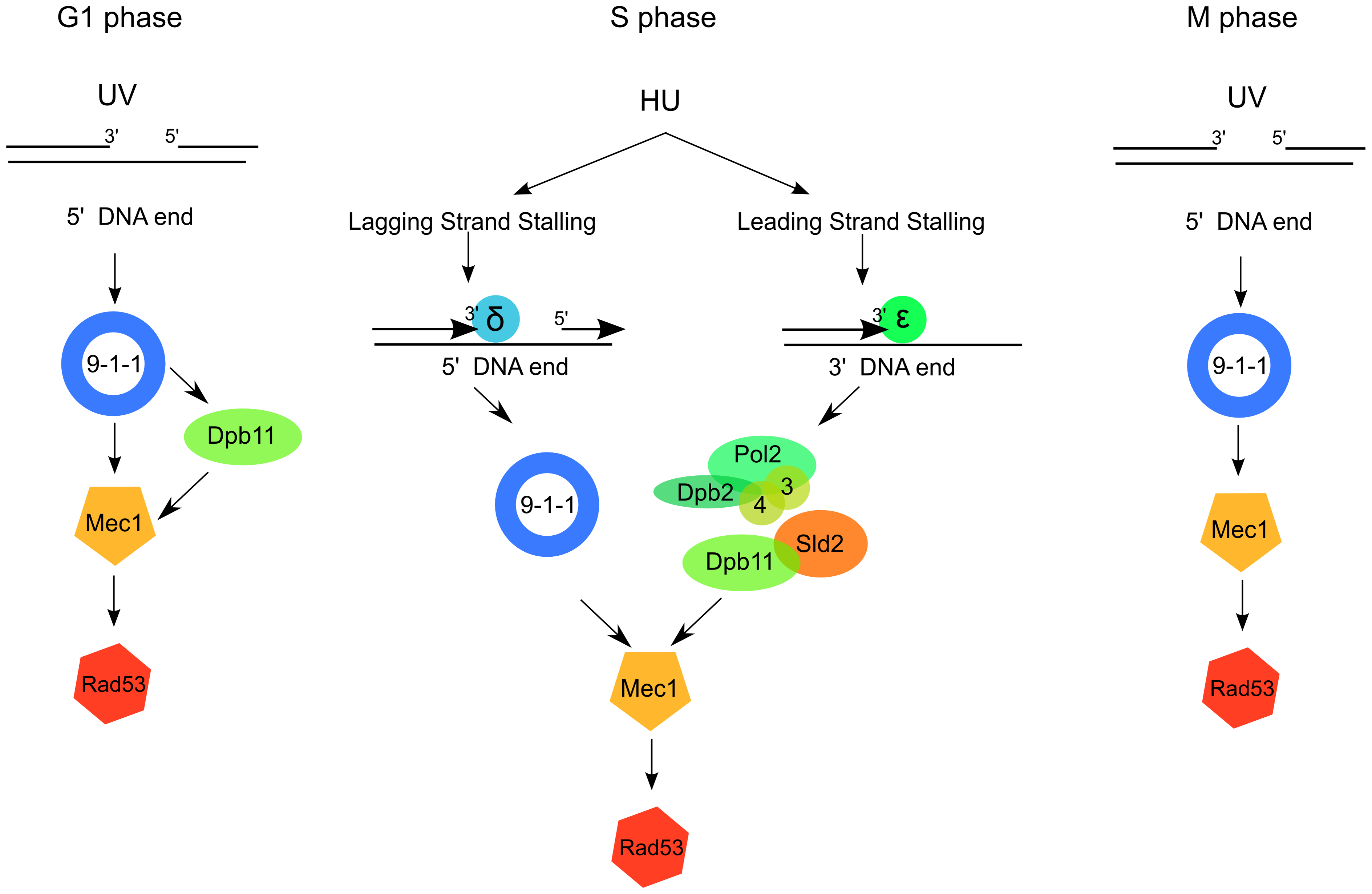 A model for 9-1-1 and Dpb11 function in Mec1 activation.