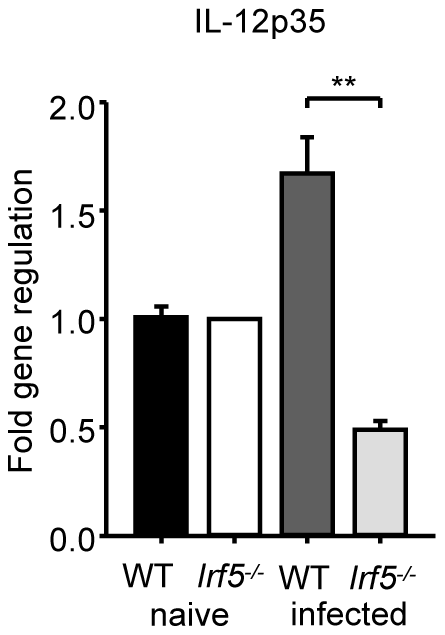 <i>L. donovani</i> fails to induce IL-12p35 expression in <i>Irf5<sup>-/-</sup></i> mice.