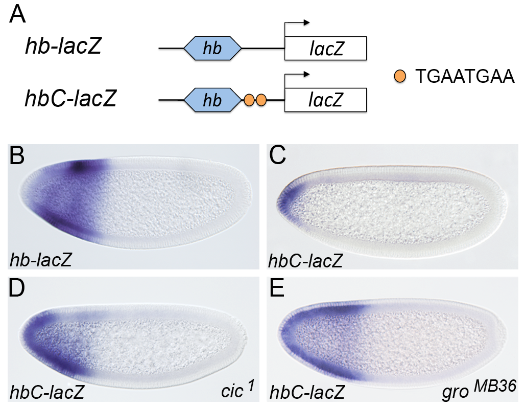 Cic binding sites are sufficient for recruitment of Gro in vivo.