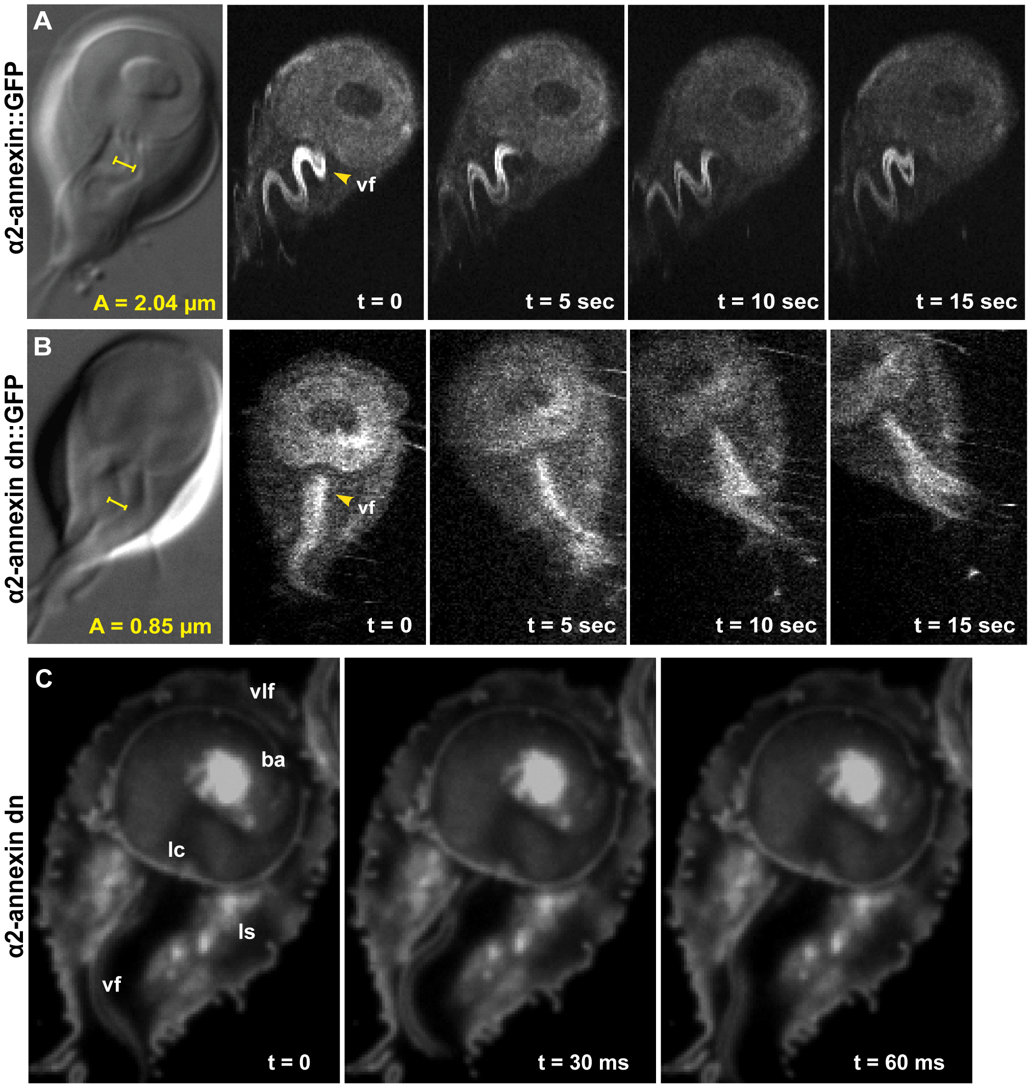 Overexpression of a dominant negative alpha2-annexin::GFP (D122A, D275A) decreases ventral flagellar waveform amplitude with only slight decreases in attachment.