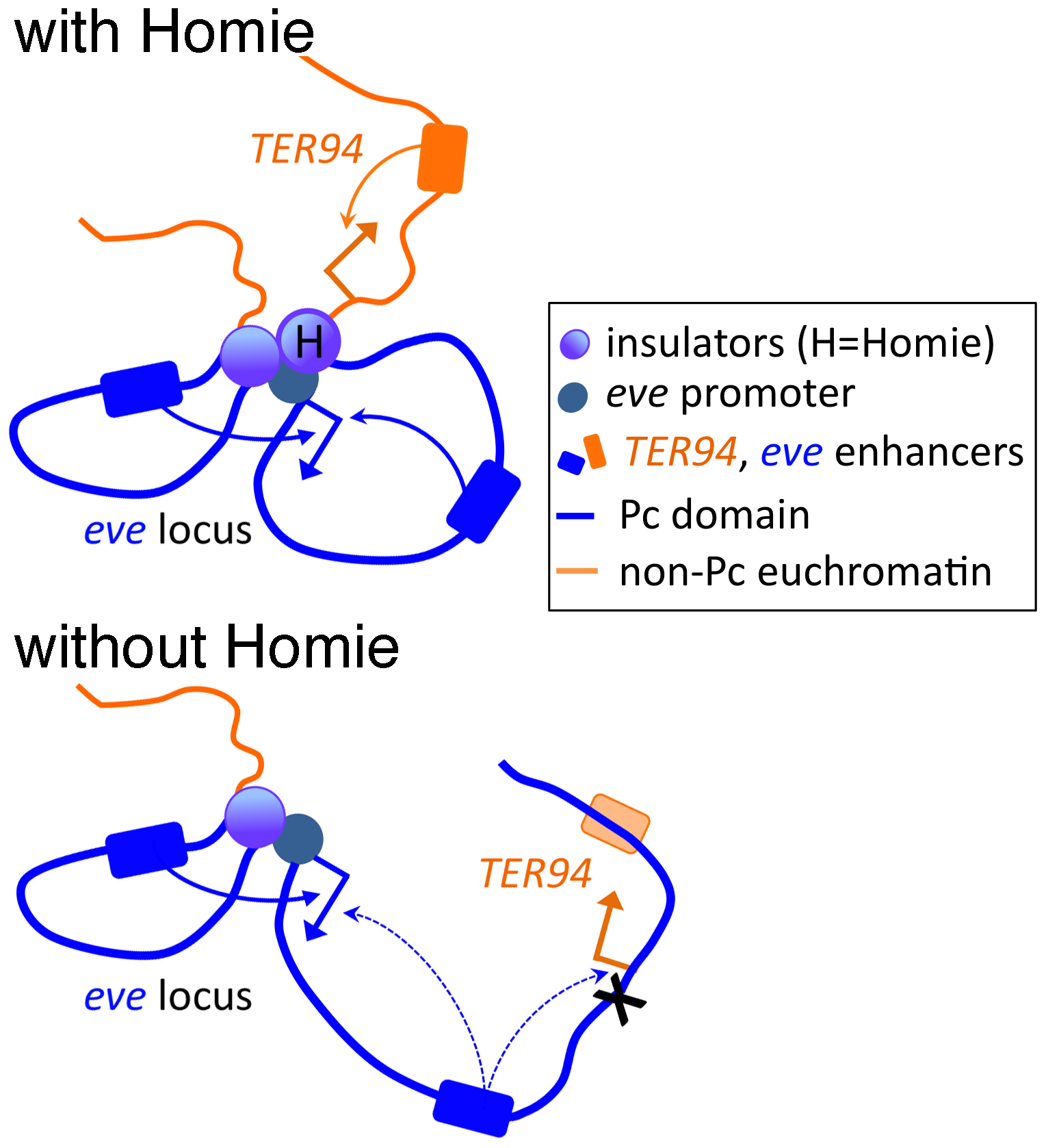 Model of the effects of Homie deletion on chromosome conformation and chromatin structure.