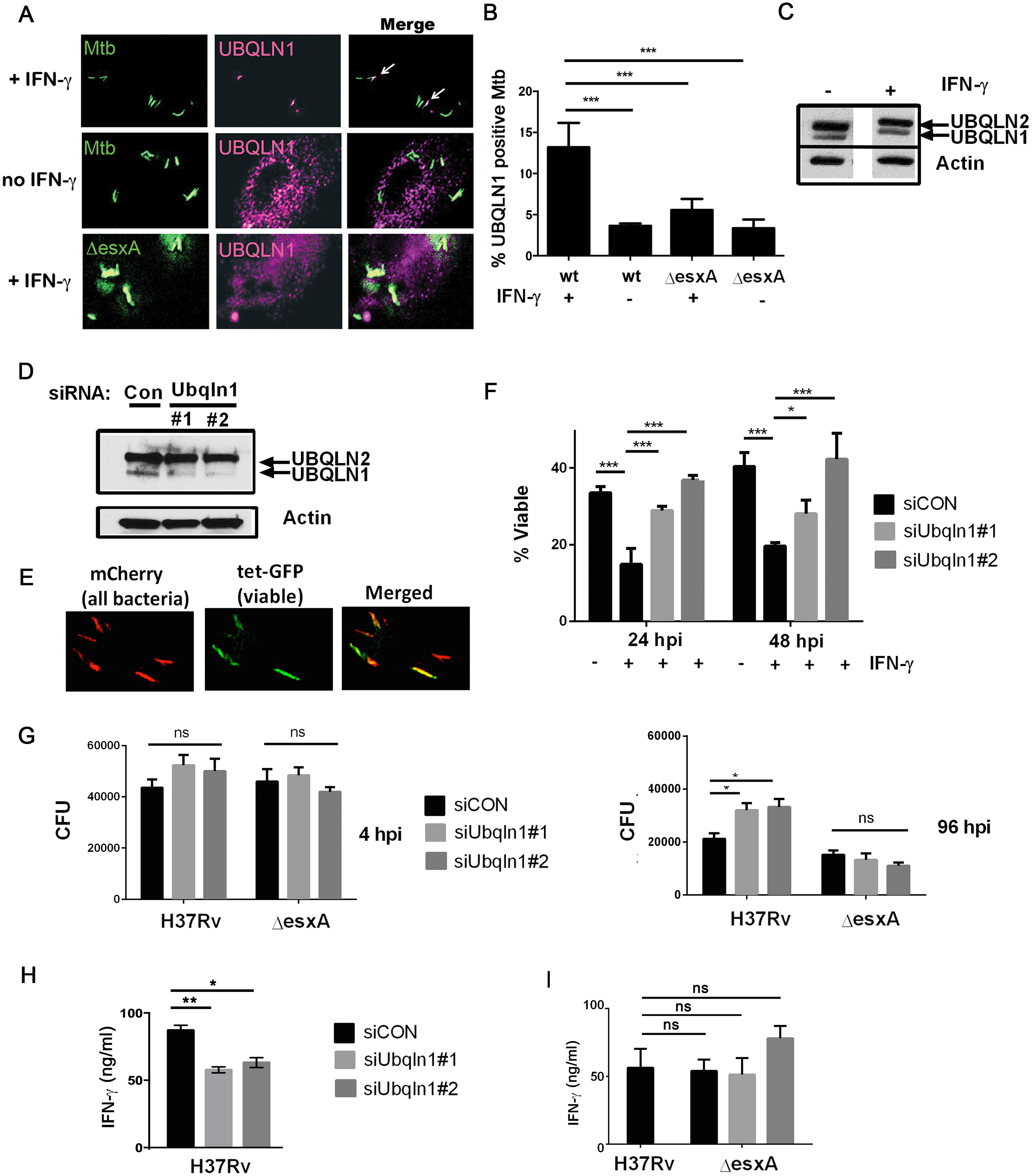UBQLN1 localizes to Mtb, restricts its growth, and promotes the ability of macrophages to active CD4+ T cell.