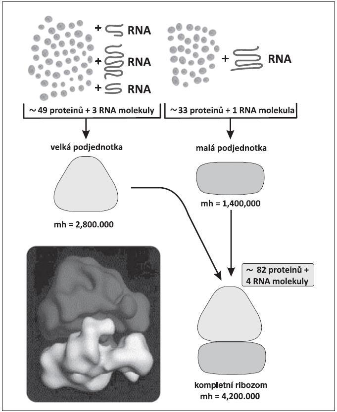 Složení malé a velké podjednotky ribozomu.