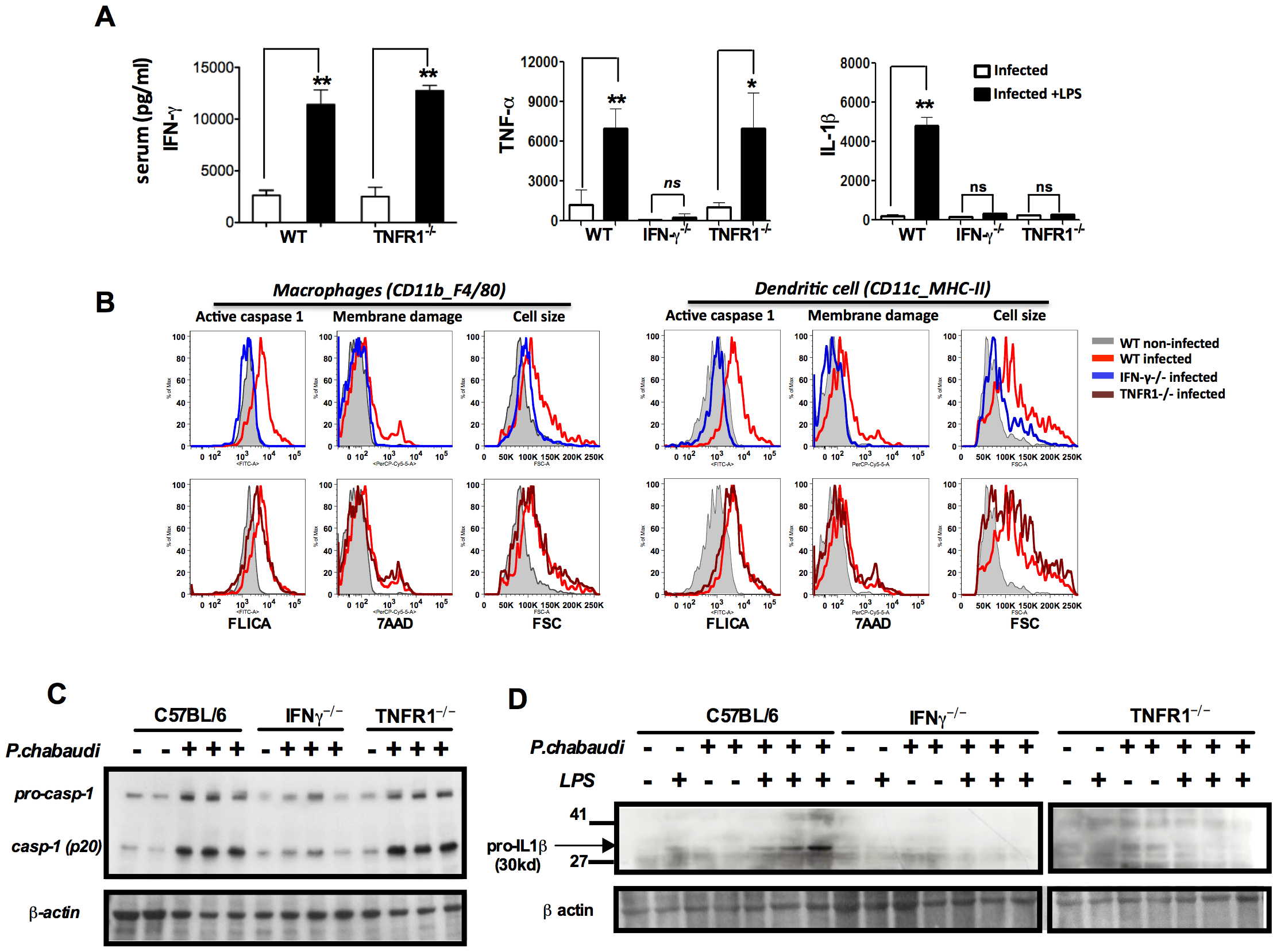 Both endogenous IFN-γ and TNF-α are required for IL-1β production in mice infected with <i>P. chabaudi</i>.