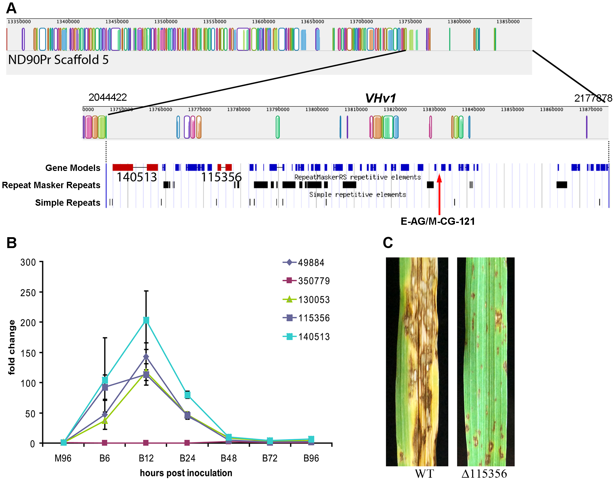 Genomic organization of the scaffold associated with the <i>VHv1</i> locus conferring high virulence of pathotype 2 isolate ND90Pr to barley cv. Bowman compared to the corresponding region in pathotype 0, isolate ND93-1.