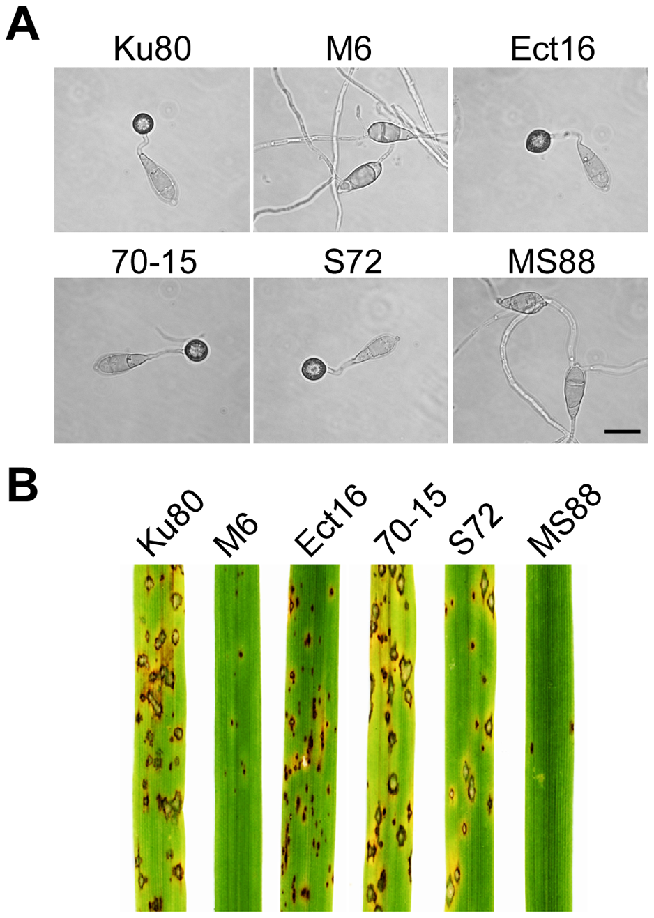 Appressorium formation and plant infection assays.