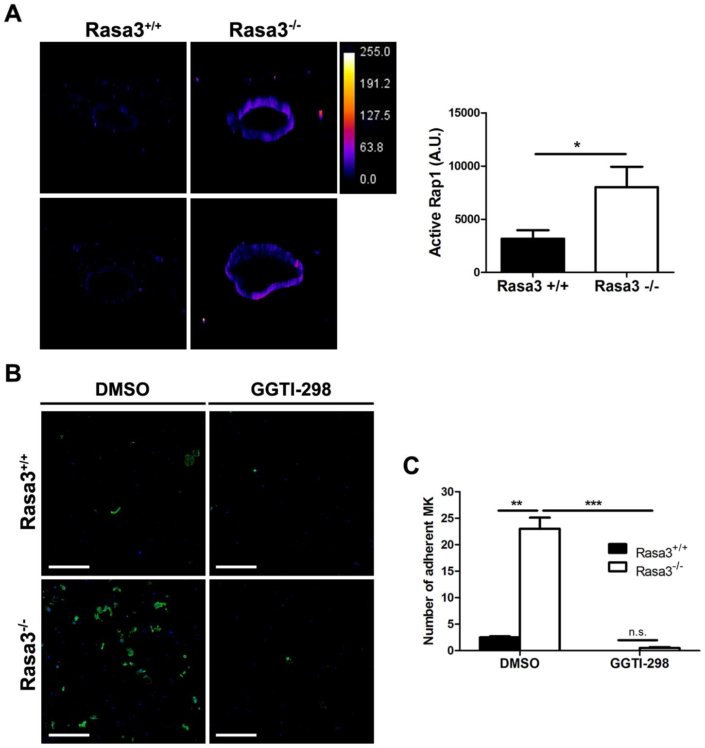 Increased active Rap1 in Rasa3<sup>−/−</sup> megakaryocytes.