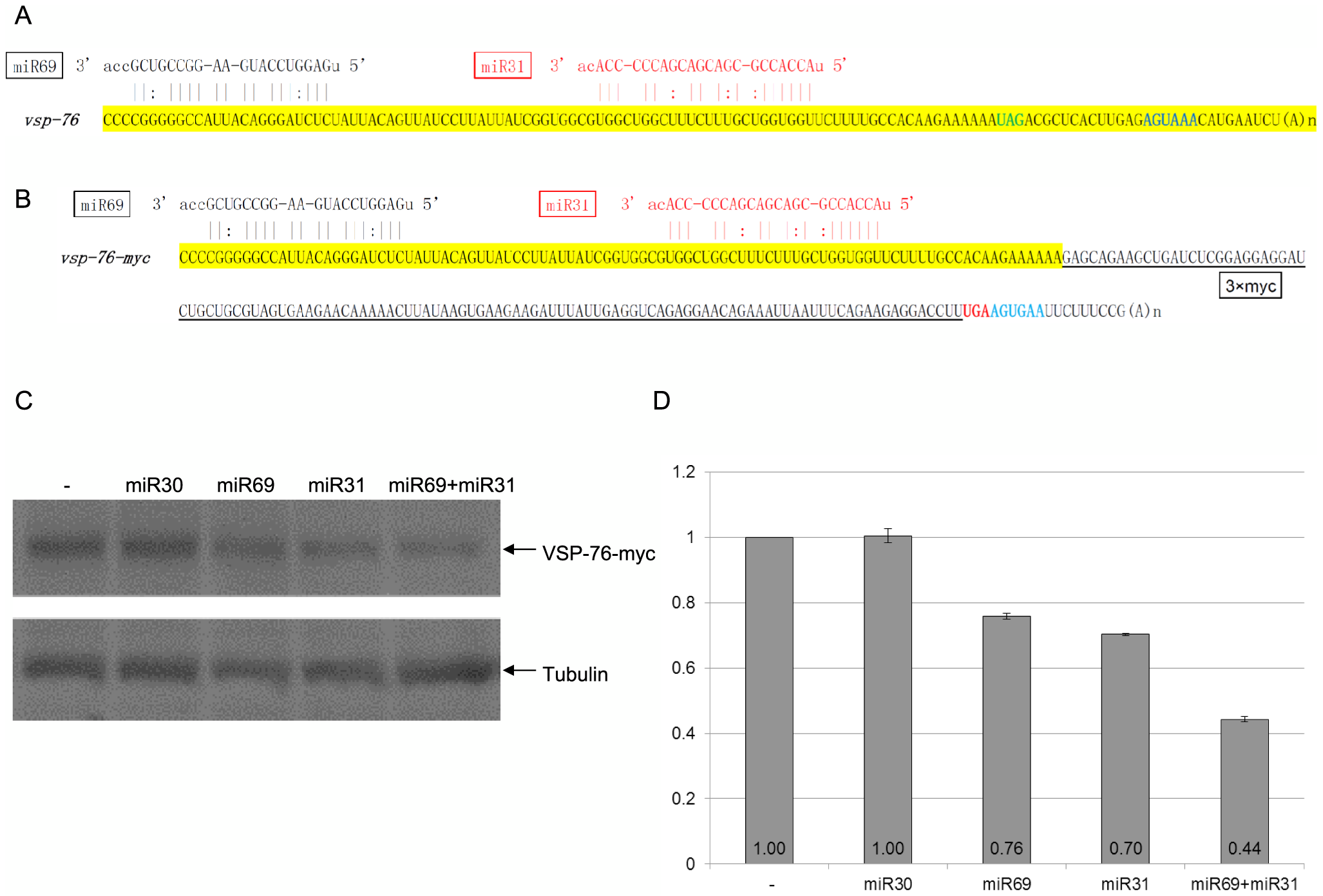 miRNA-mediated regulation of VSP-76 expression.