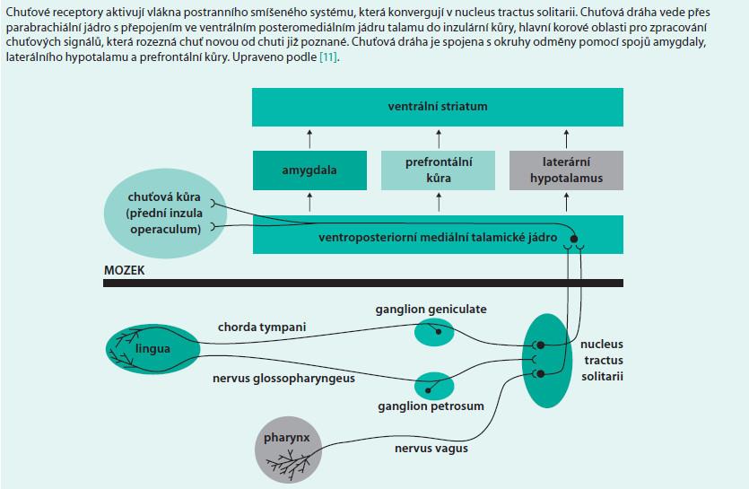 Schéma 3. Schéma chuťové dráhy a jejího zapojení do systému odměny