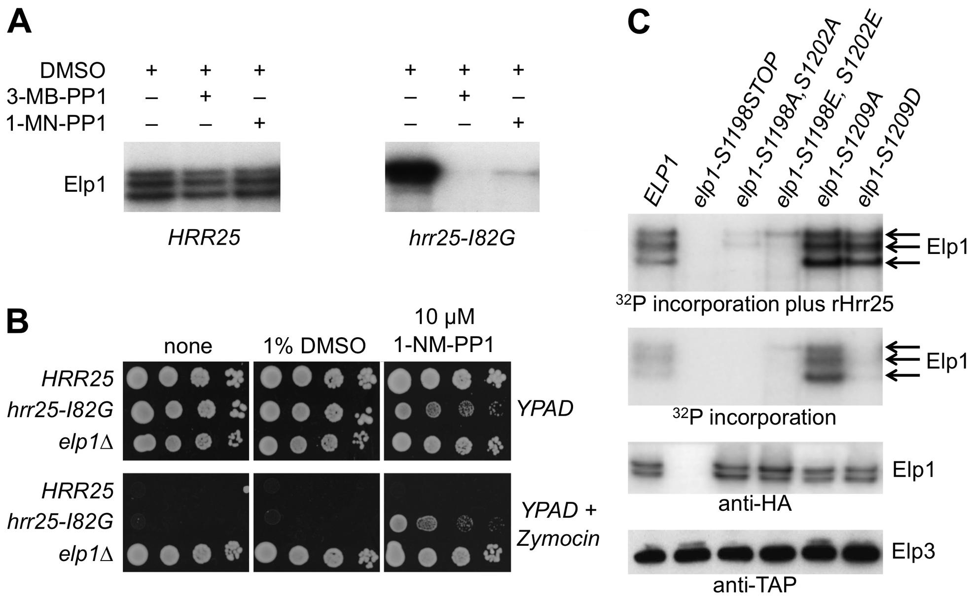 Purified Elongator shows Hrr25-dependendent phosphorylation that requires Ser-1198 and Ser-1202.