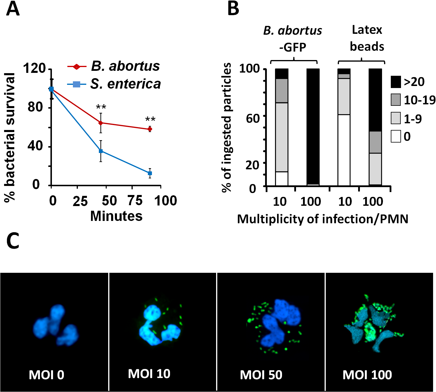 <i>B</i>. <i>abortus</i> is partially resistant to the killing action of PMNs.