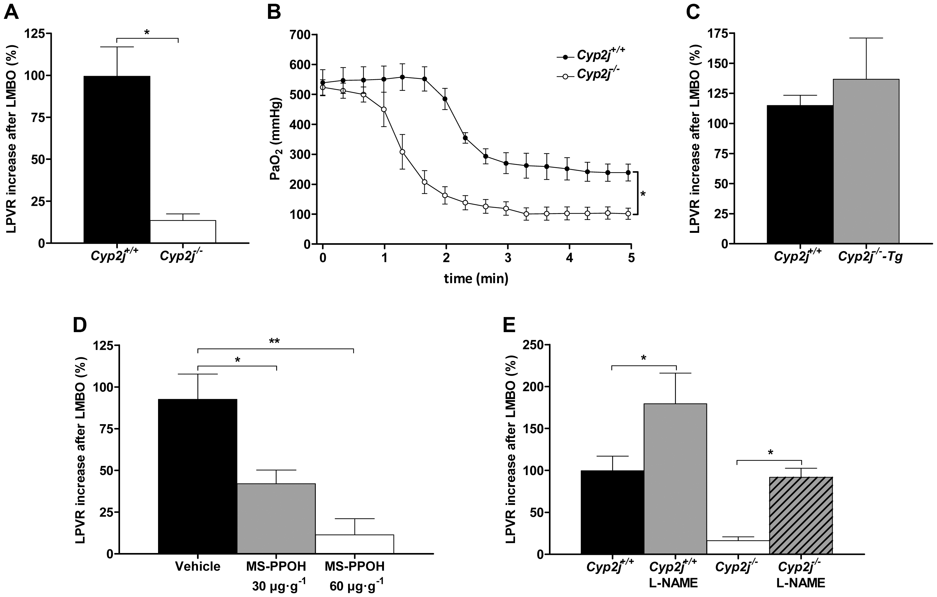 (A) Percent increase in left lung pulmonary vascular resistance (LPVR) in response to left mainstem bronchial occlusion (LMBO) in <i>Cyp2j<sup>+/+</sup></i> and <i>Cyp2j<sup>−/−</sup></i> mice (n=10 per group).