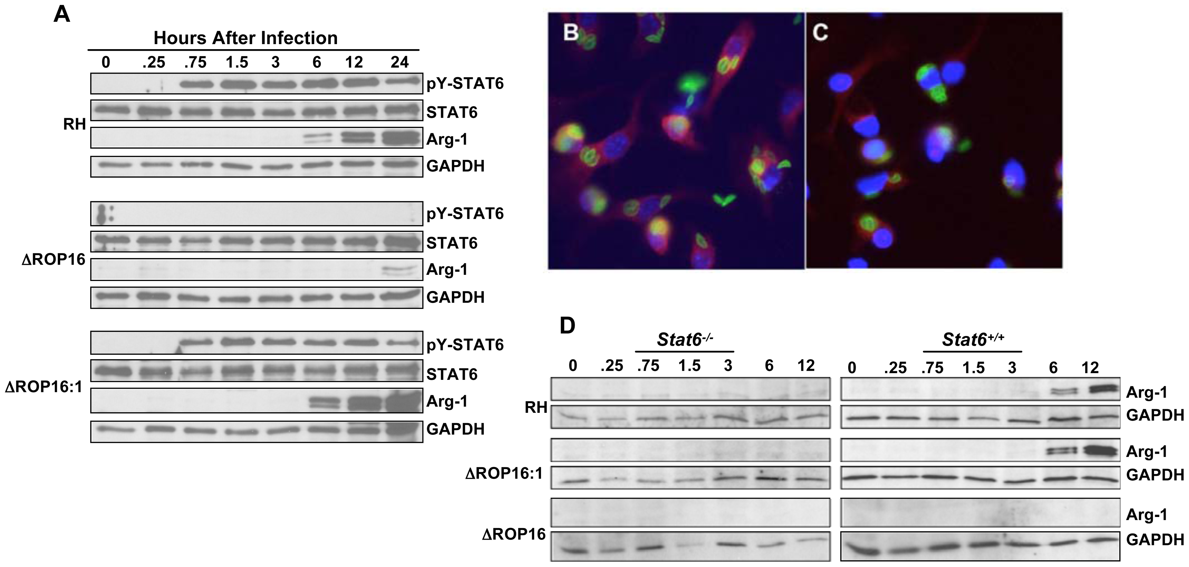 ROP16 controls STAT6-dependent arginase-1 synthesis.