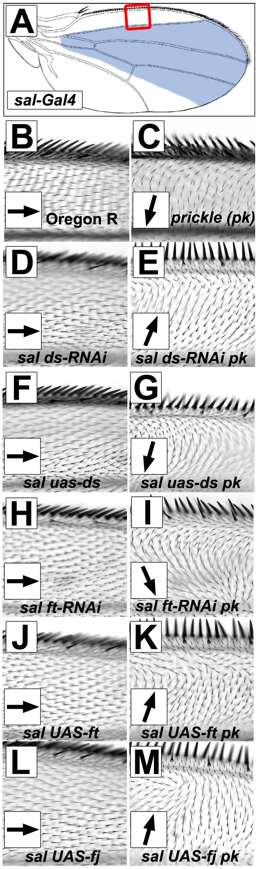 Gradients/boundaries of Ft/Ds pathway gene expression modify the <i>pk<sup>pk</sup></i> hair polarity phenotype.