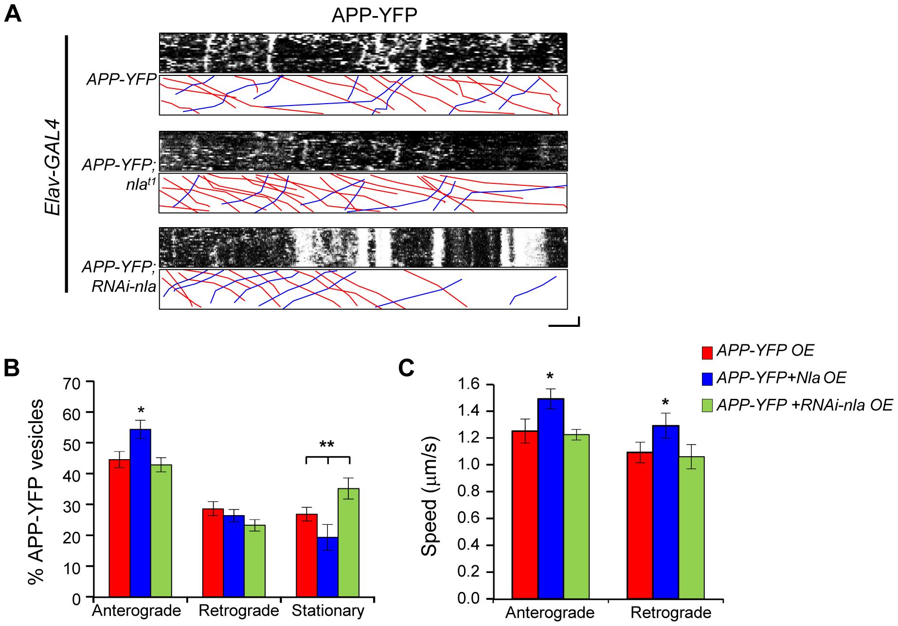 Nebula upregulation enhances anterograde transport of APP-YFP in larval motor axons.
