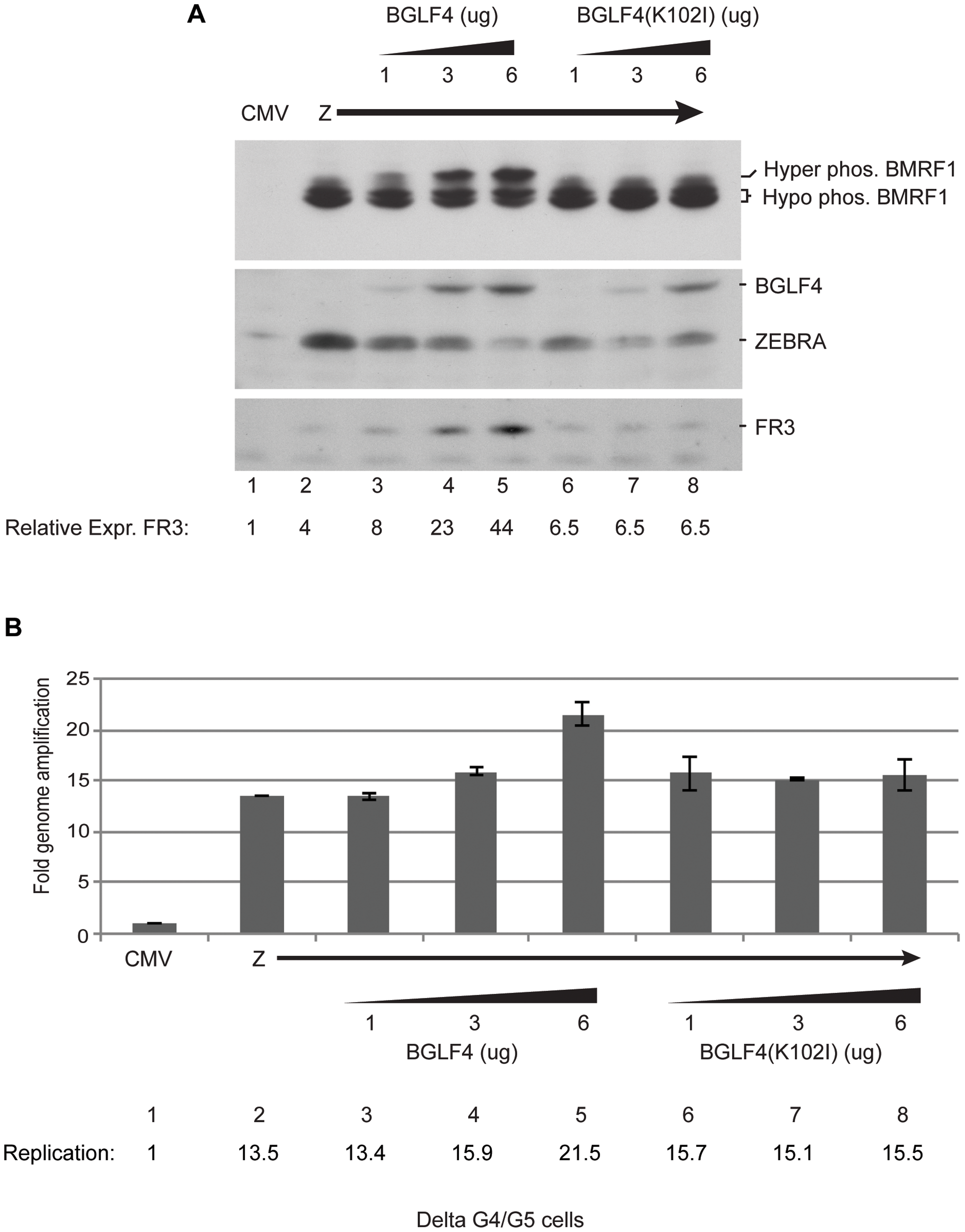 Increasing concentrations of wild-type BGLF4, but not the kinase dead mutant, enhances late gene expression.