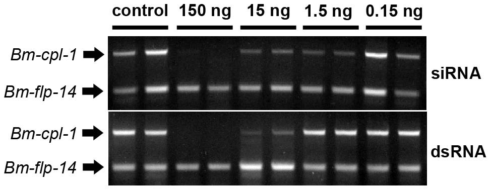Concentration-dependent, <i>in vivo</i> suppression of <i>Brugia malayi</i> Cathepsin-L1 (<i>Bm-cpl-1</i>) using siRNA (Top) or dsRNA (Bottom) RNAi triggers.