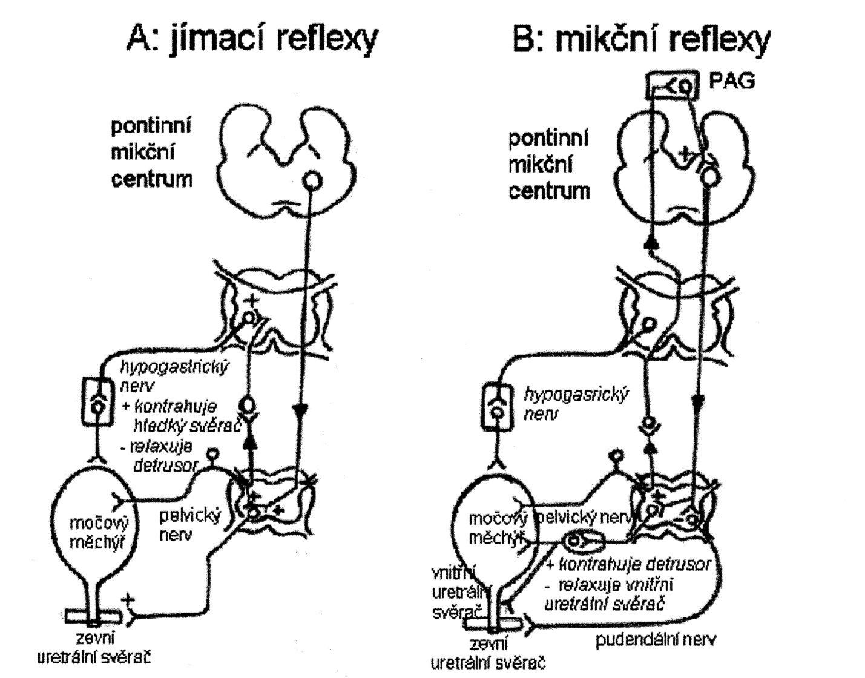 """chéma zobrazující reflexní okruhy řídící kontinenci a mikci (A) Jímací reflexy. Malá distenze močového měchýře vede ke vzniku malého počtu aferentních impulzů, což aktivuje sympatikus působící na bazi močového měchýře a proximální uretru a pudendální nerv působící na  zevní příčně pruhovaný svěrač. Tyto tzv. """"ochranné reflexy"""" zajišťující kontinenci jsou reflexy spinálními. Sympatikus rovněž relaxuje svalovinu detruzoru a moduluje přenos v intramurálních gangliích.  Oblast ventrálního pontu (pontinní jímací centrum a """"L"""" oblast) zvyšuje aktivitu zevního uretrálního svěrače.  (B) Mikční reflexy. Velký počet aferentních impulsů z močového měchýře aktivuje cestou spinobulbospinálního reflexu parasympatikus působící na močový měchýř a vnitřní uretrální svěrač. Dochází k inhibici sympatiku a pudendálního nervu působících na vnitřní a zevní uretrální svěrač. Aferentní dráhy mikčního reflexu vedou do pontinního mikčního centra přes periaqueduktální šedou hmotu."""