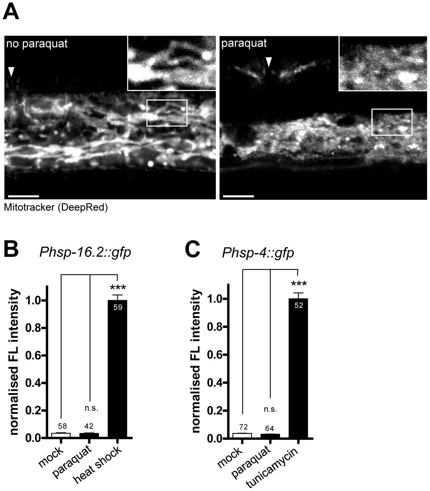 Paraquat affects mitochondrial morphology, but does not provoke the unfolded protein responses of the endoplasmatic reticulum (ER) or the cytosol.