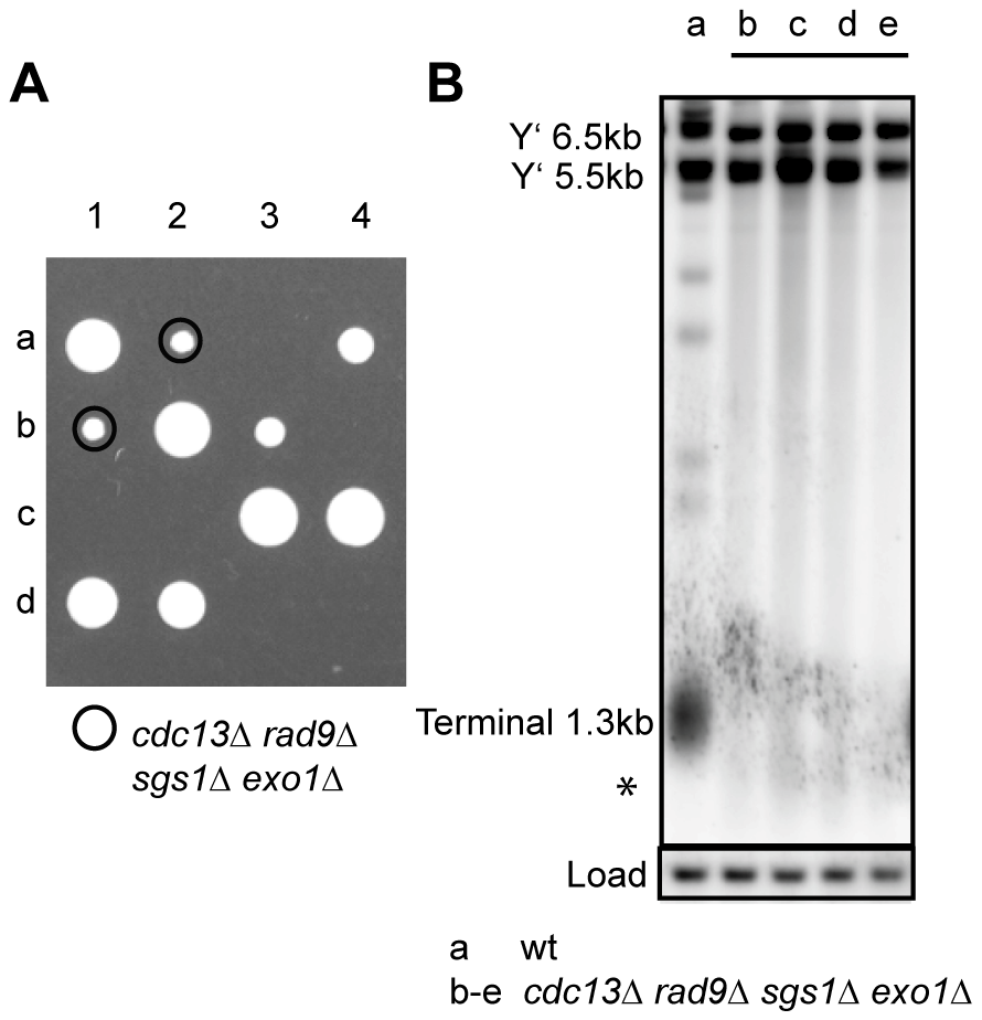 Cdc13 is dispensable for cell viability in the absence of Sgs1, Exo1, and Rad9.