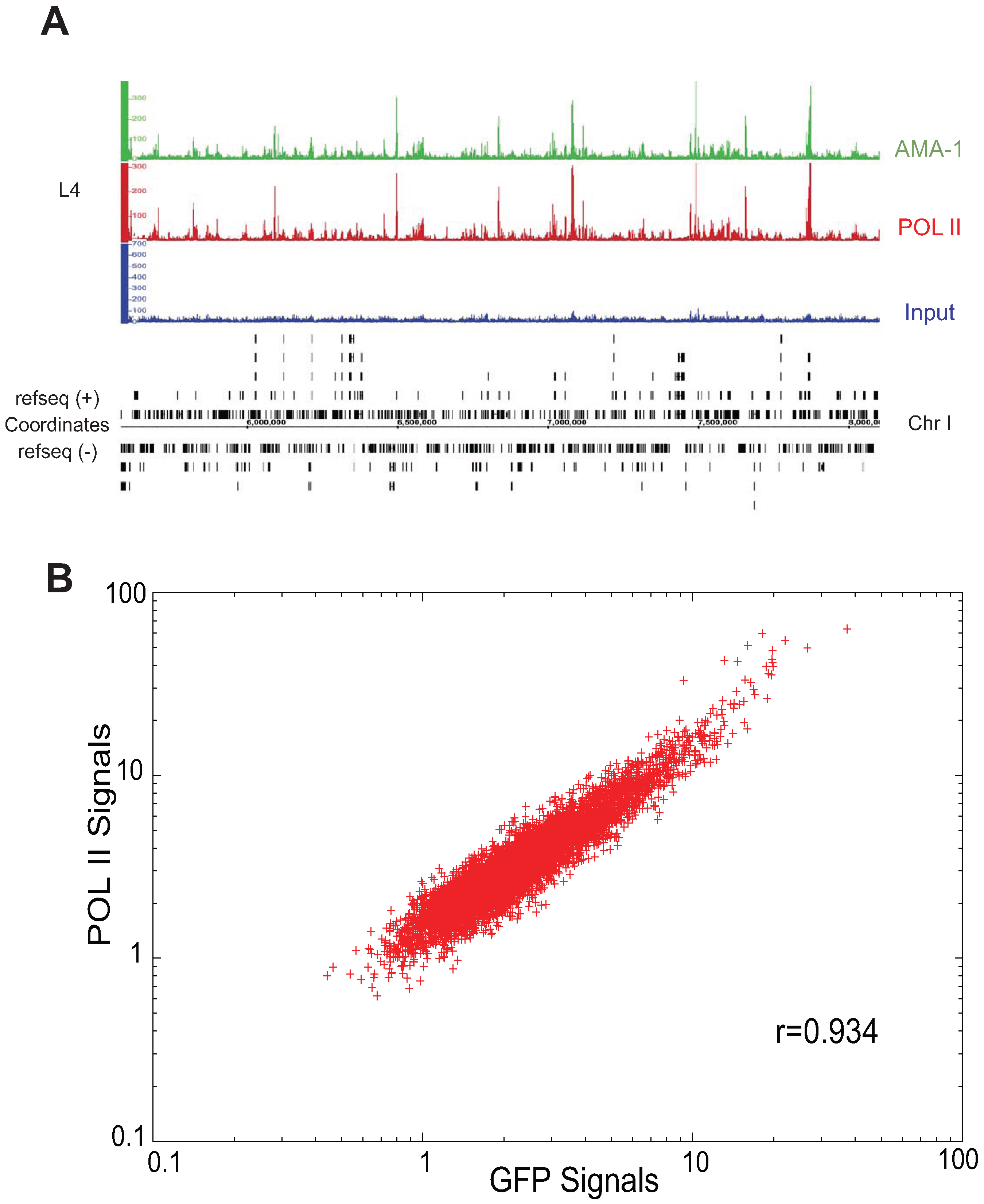 Binding patterns of GFP-tagged AMA-1 are highly similar to that of native AMA-1.