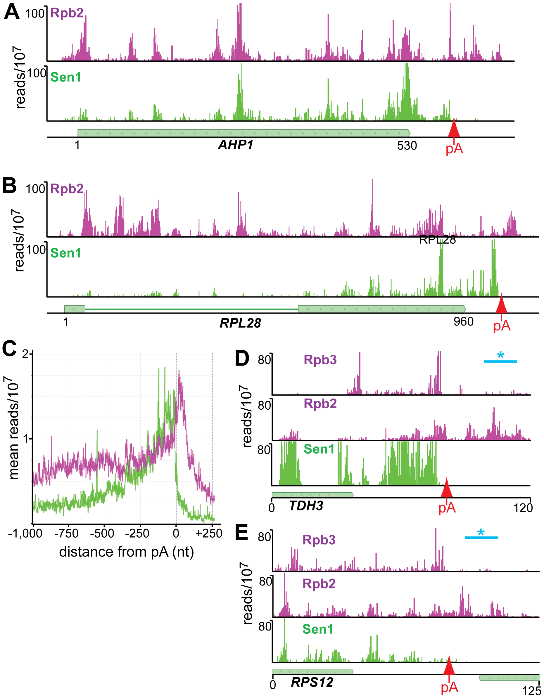 Distribution of Rpb2 and Sen1 on highly expressed genes.