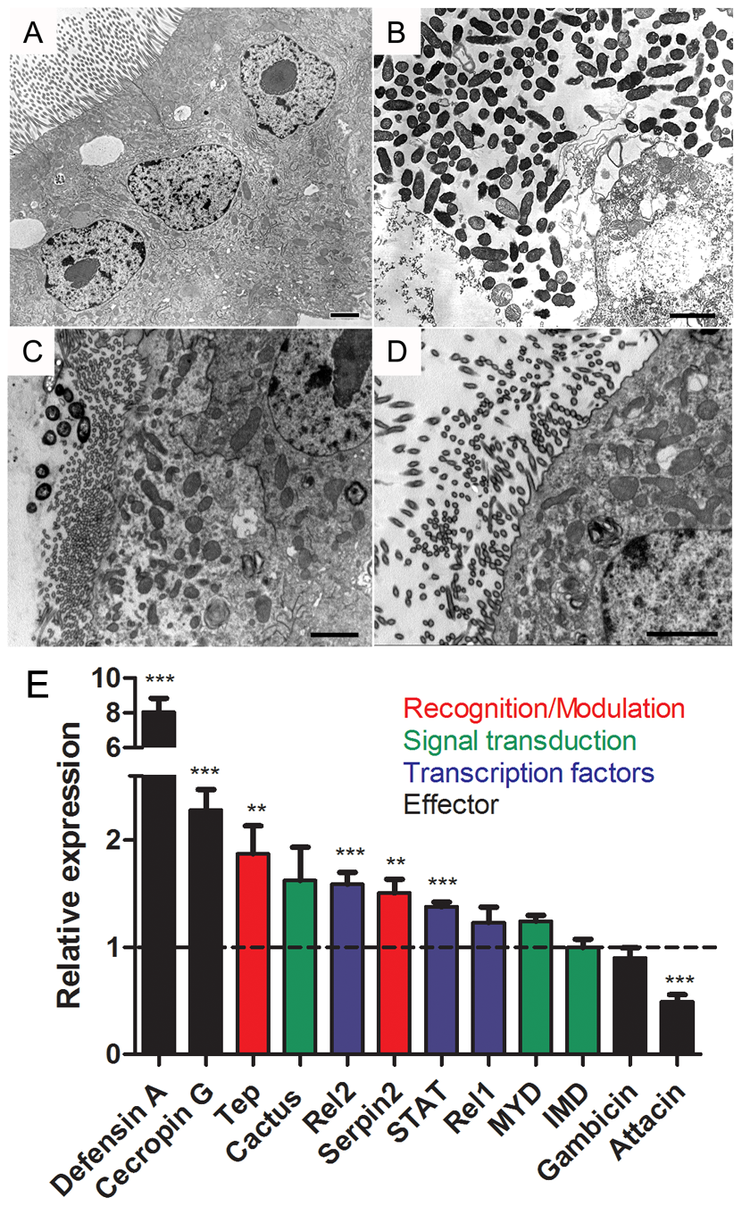 Bacterial infection in the presence of DPI causes cell damage and immune activation in mosquito midgut.