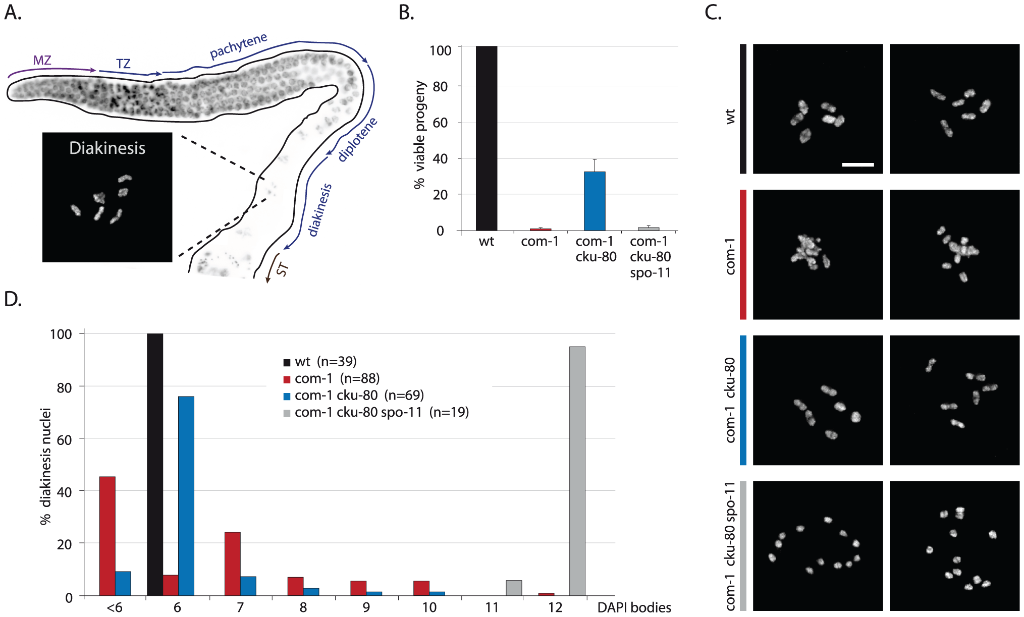 Loss of <i>cku-80</i> prevents chromosomal aggregation and restores chiasmata formation and embryonic survival in <i>com-1(t1626)</i> mutants.