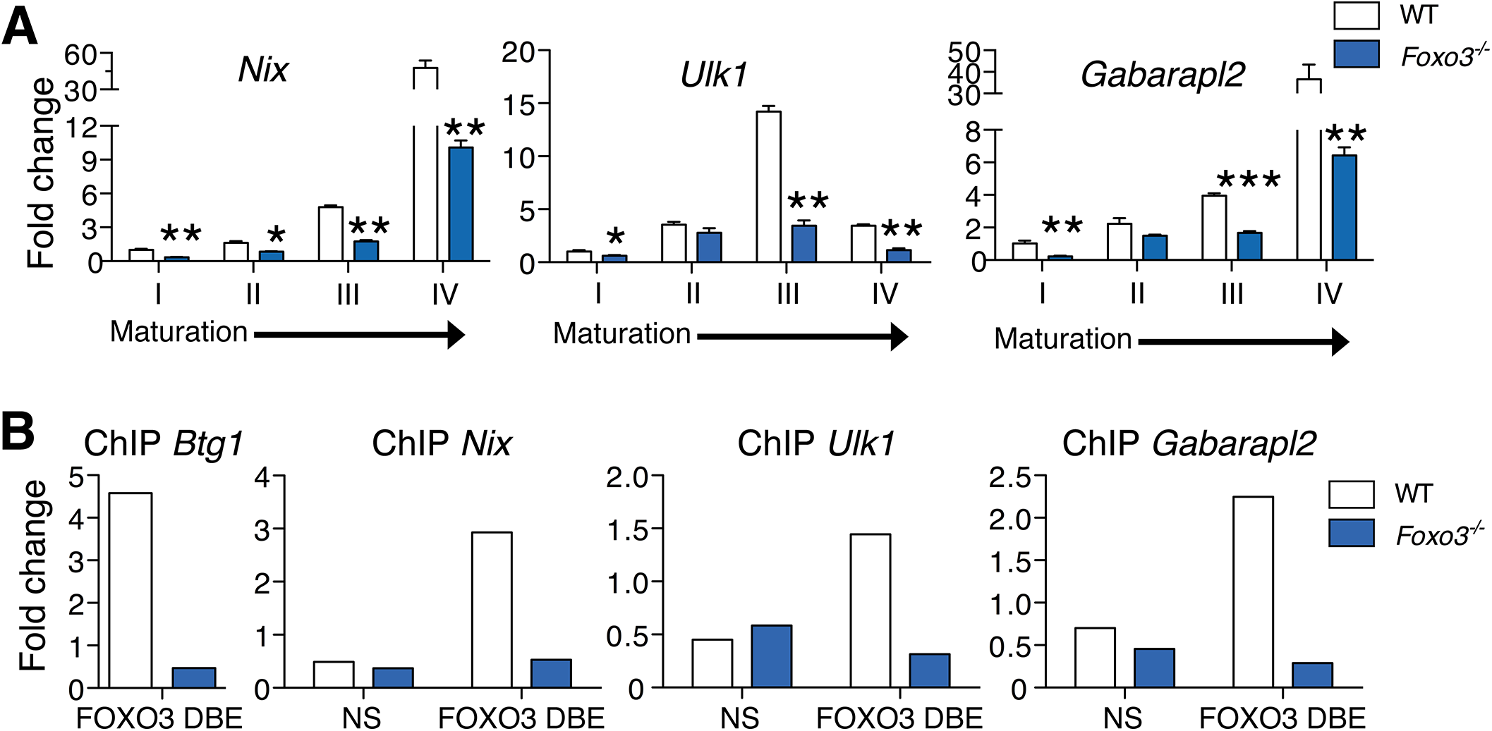 FOXO3 regulates expression of autophagy and mitochondrial removal related genes in erythroblasts.