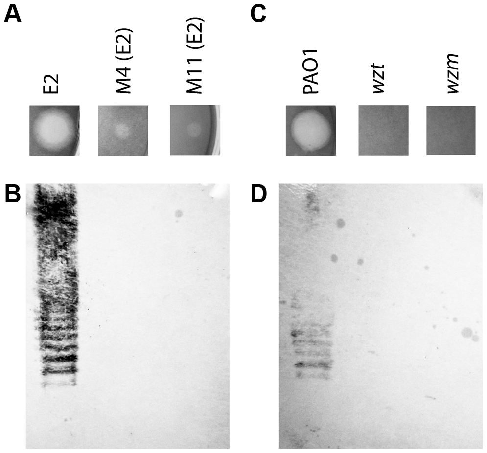 CPA production correlates with pyocin L1 killing.