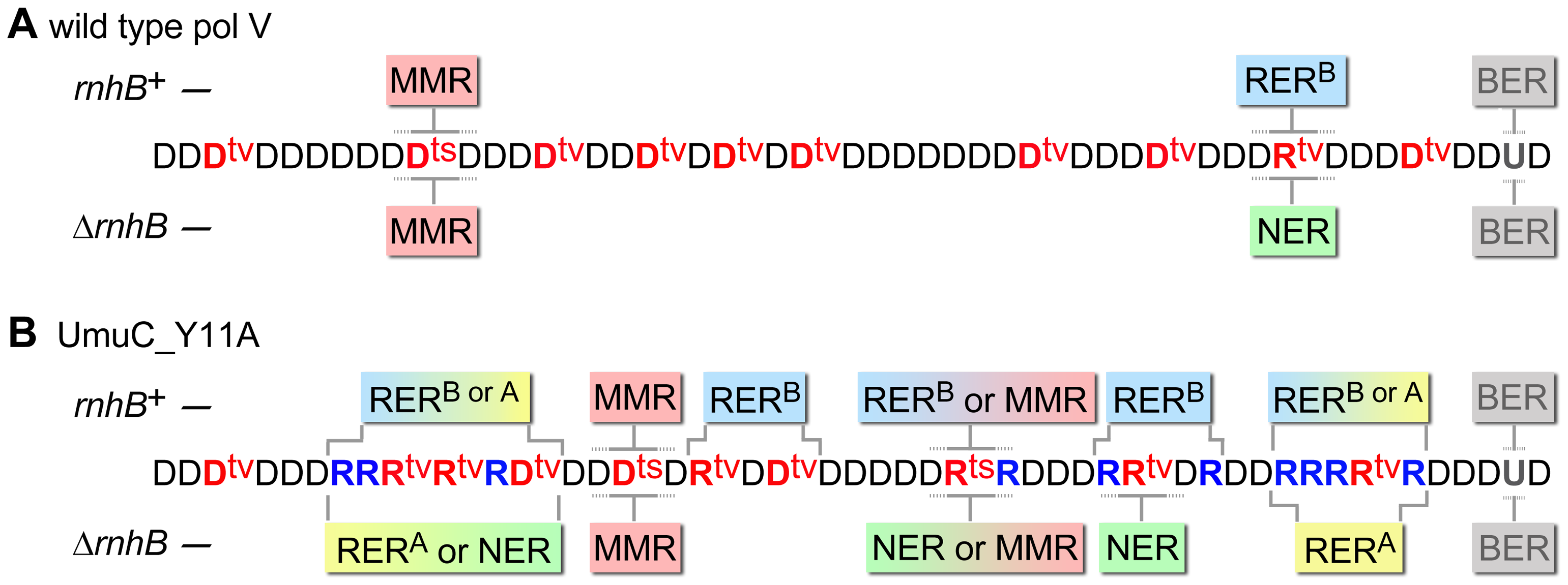 Various DNA repair pathways compete, cooperate, or substitute for each other in order to sanitize the <i>E.coli</i> chromosome from mispairs, uracils and incorporated rNMPs.