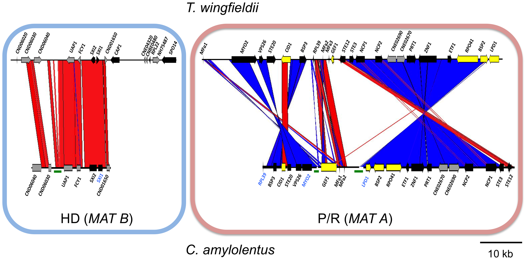 Synteny analysis of <i>MAT</i> sequences from <i>T. wingfieldii</i> and <i>C. amylolentus</i>.