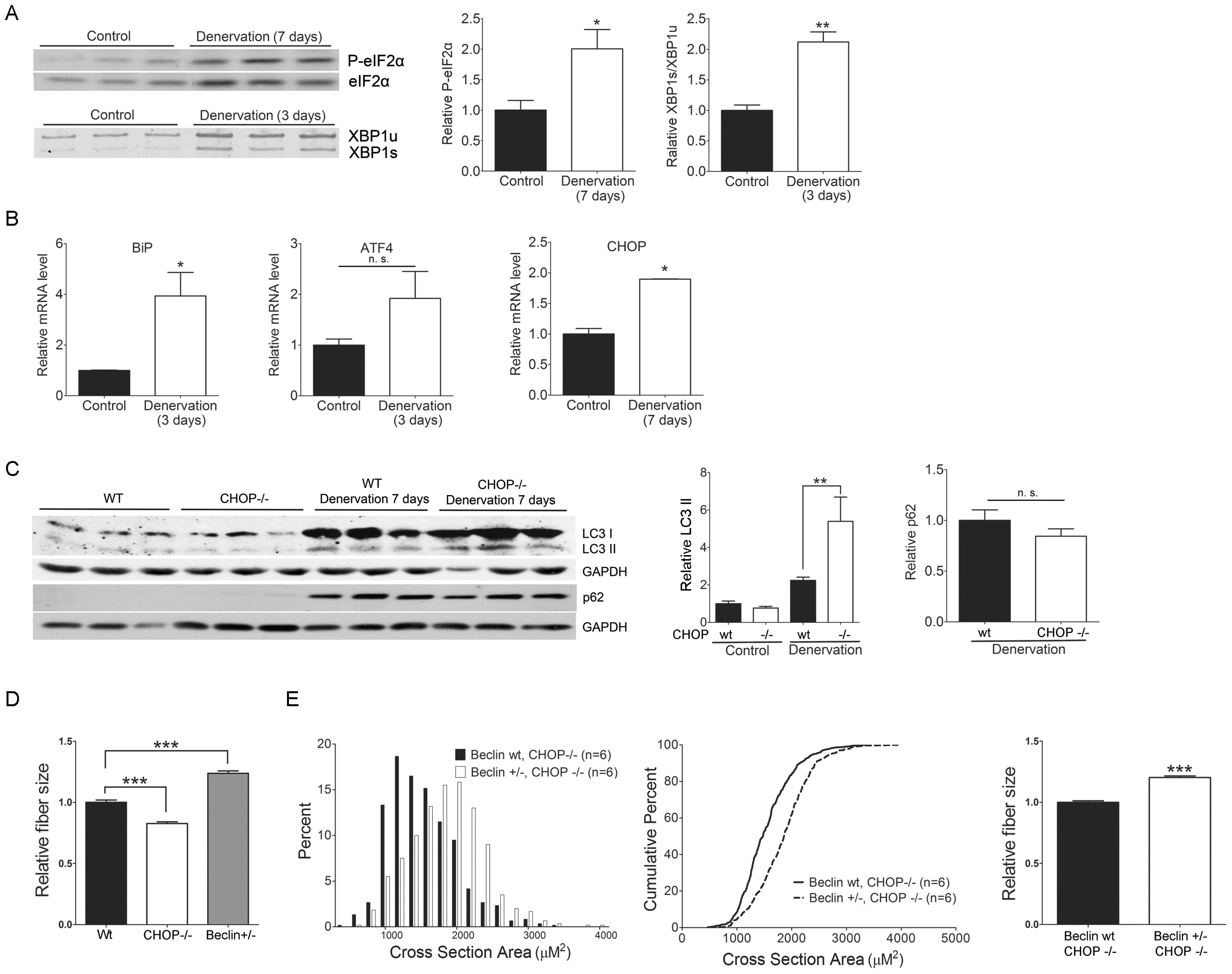 CHOP deficiency increases denervation-induced atrophy through autophagy.