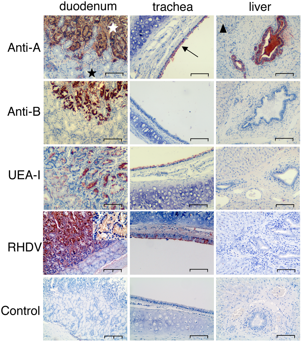 Immunohistochemistry of A, B and H expression and RHDV binding to duodenum and trachea.