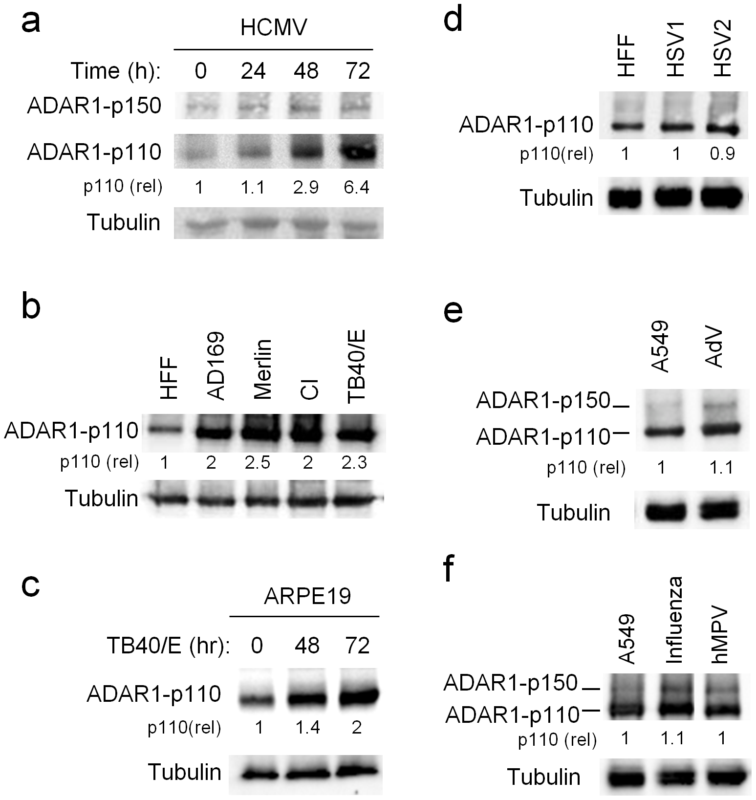 ADAR1-p110 is induced during HCMV infection.