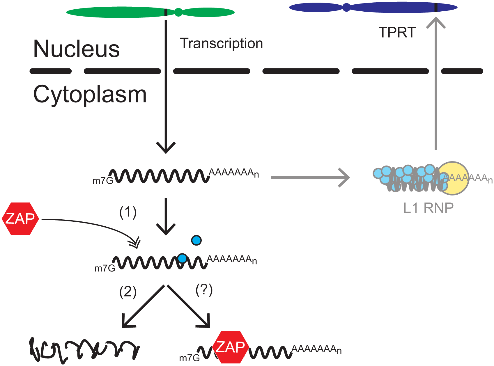 A working model for how ZAP restricts L1 retrotransposition.