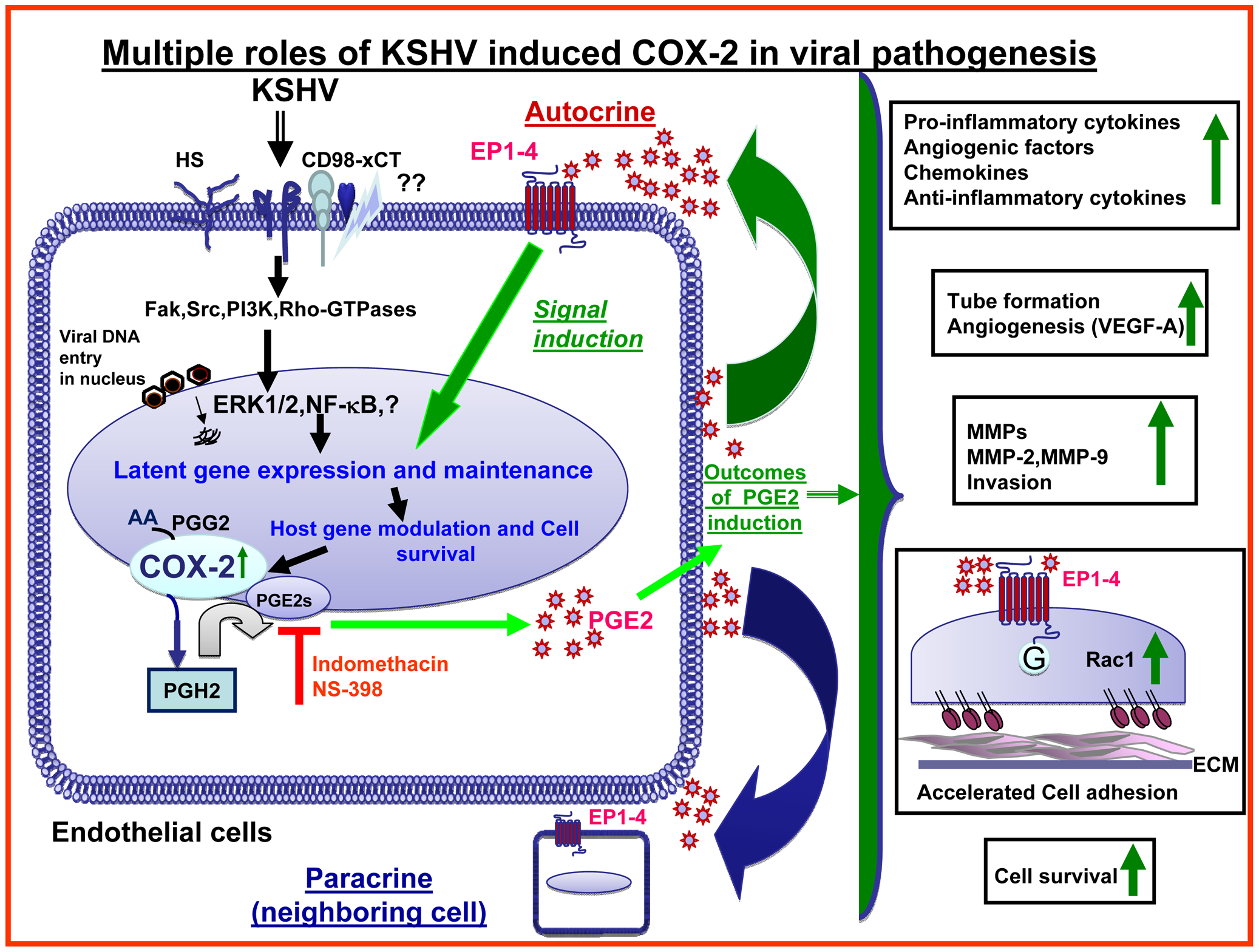 Schematic diagram depicting the multiple outcomes of KSHV induced COX-2 in endothelial cells, consequences and role in pathogenesis.