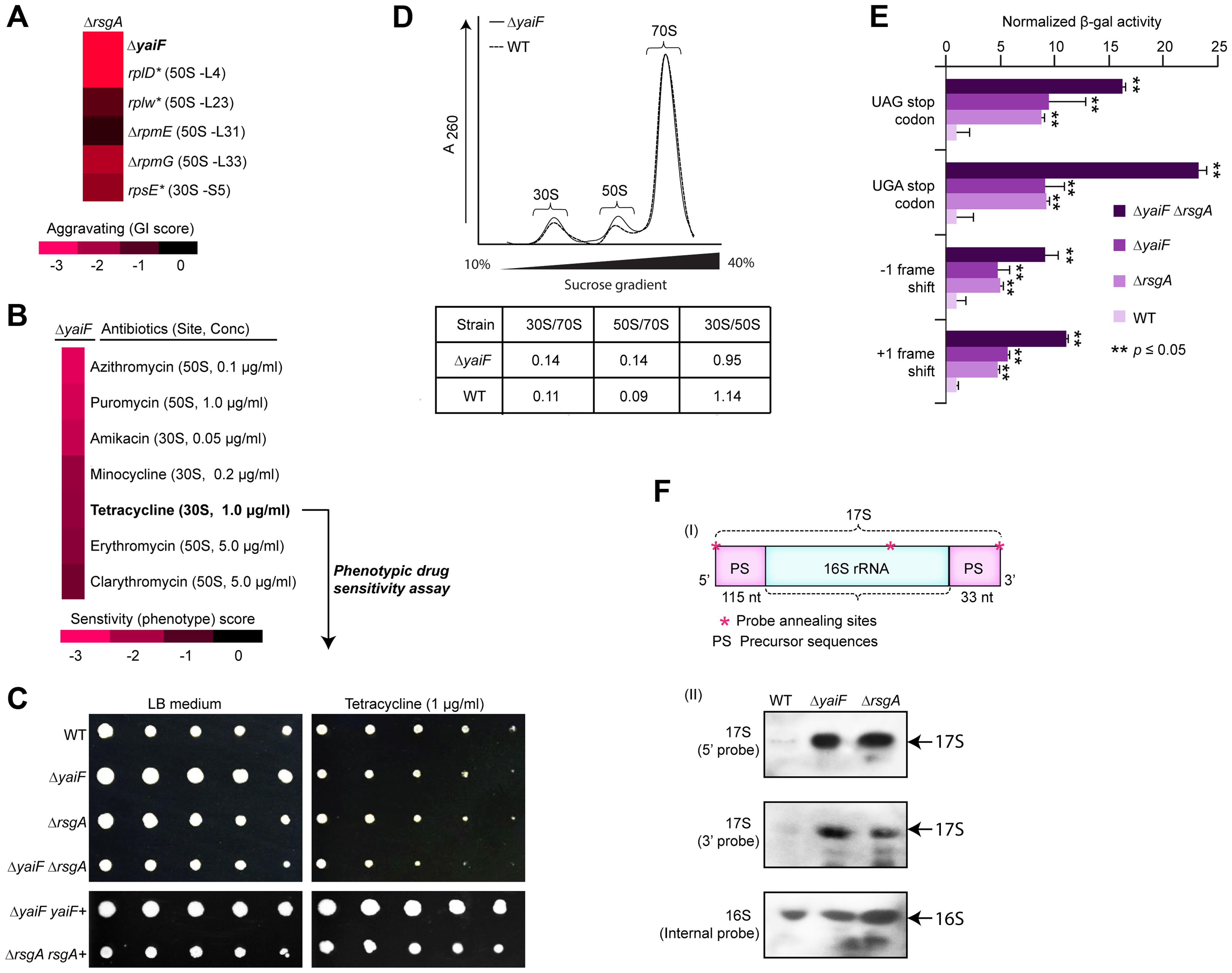 YaiF linked to ribosome biogenesis.