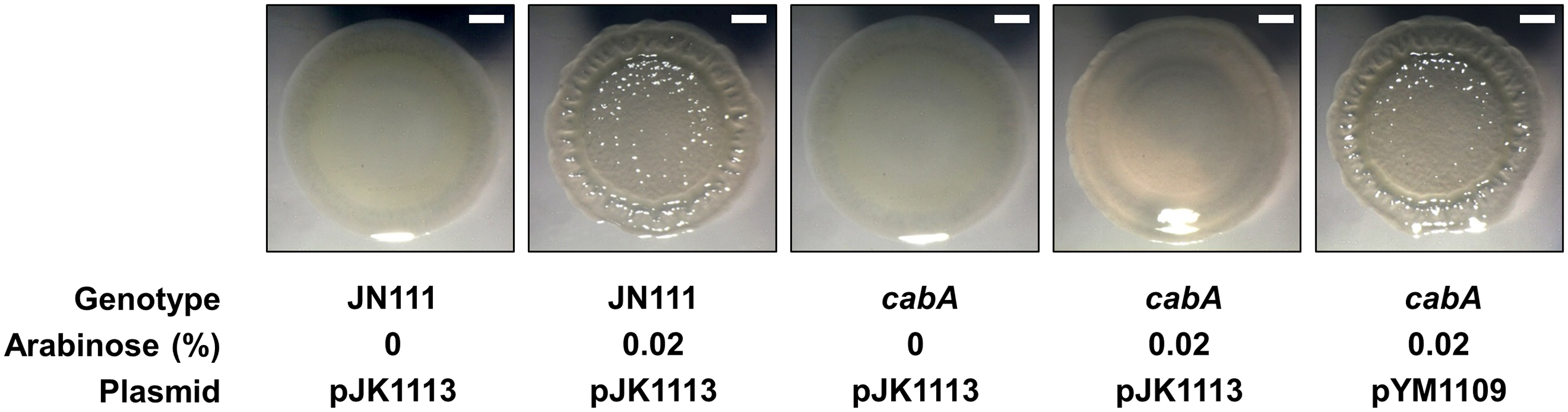 Effects of the <i>cabA</i> mutation on colony morphology.