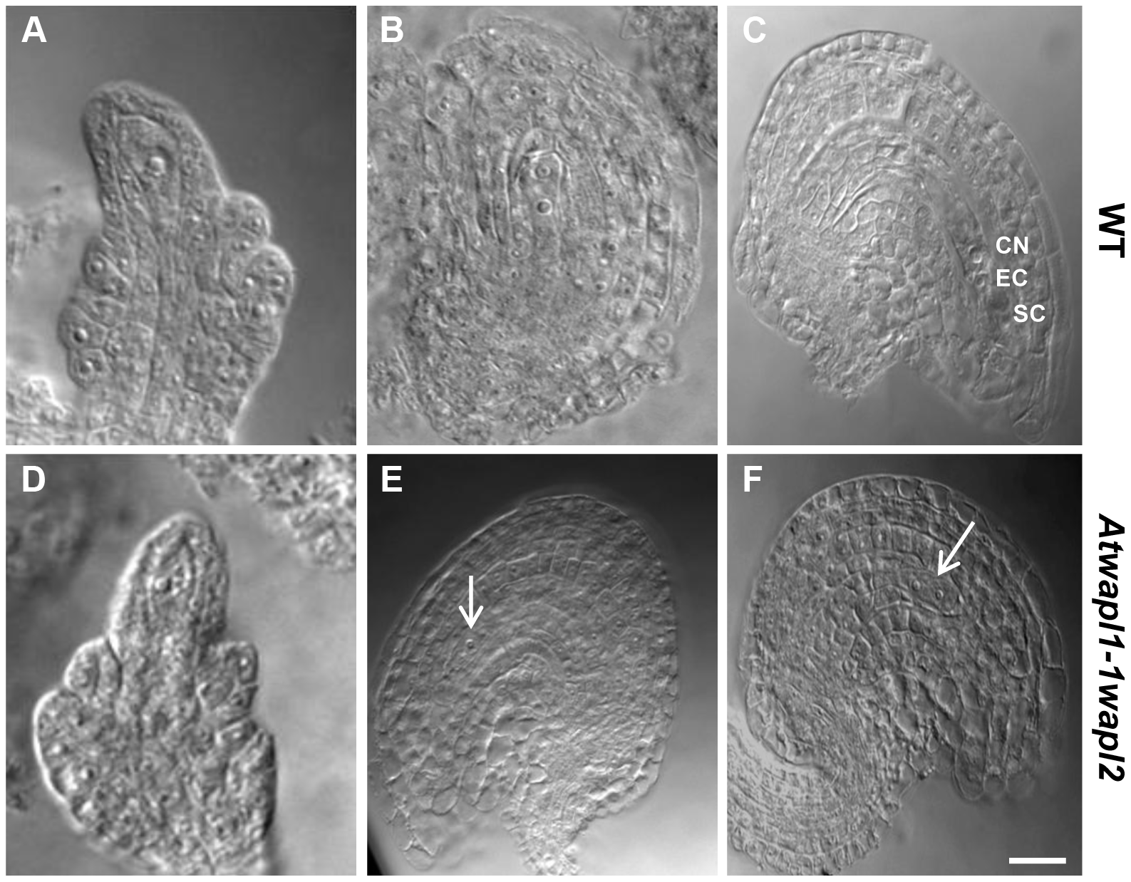 Female gametophyte development is altered in <i>Atwapl1-1wapl2</i> plants.