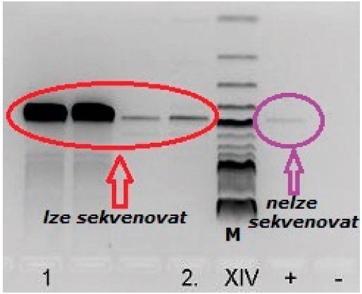 Průkaz bakteriální DNA (monitor před sekvenační reakcí); M – marker