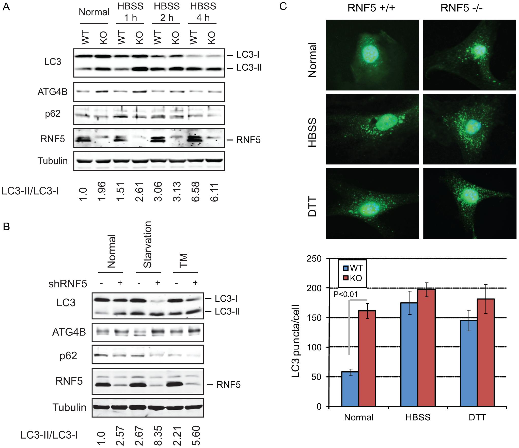 RNF5 negatively regulates autophagy.