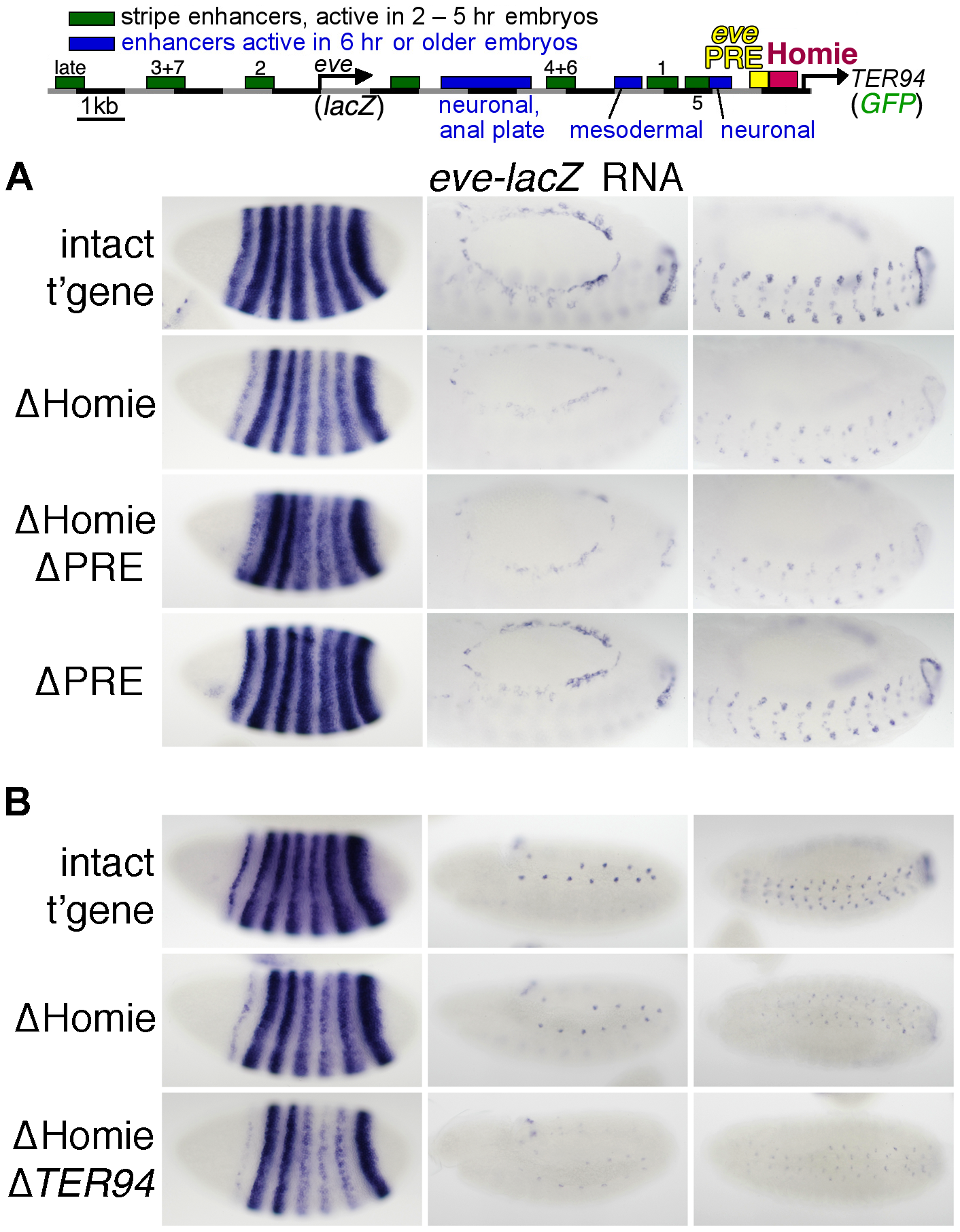 Homie facilitates <i>eve</i> 3′ enhancer action on the <i>eve</i> promoter through a mechanism that does not involve the <i>TER94</i> promoter.