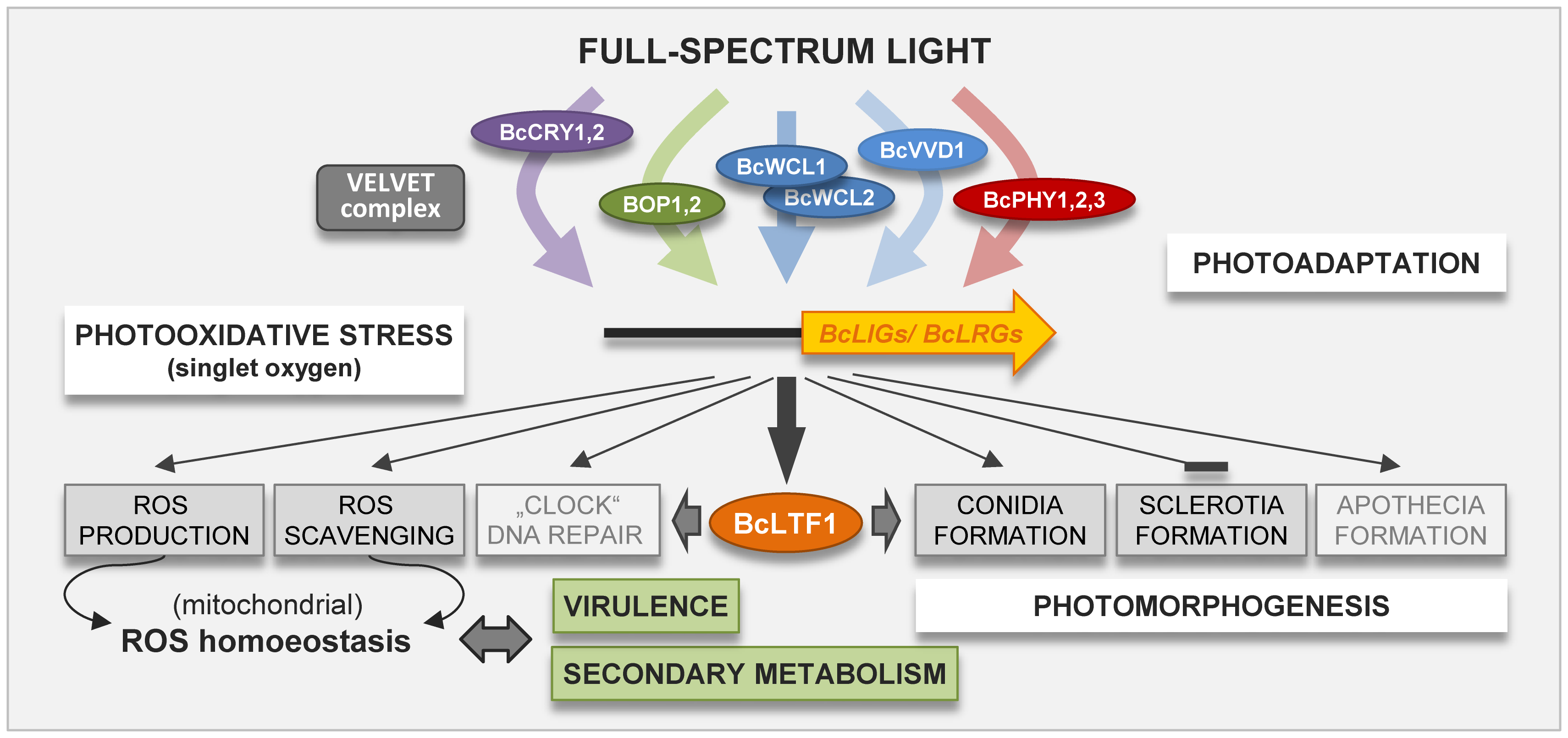 Photoresponses in <i>B. cinerea</i> are modulated by the light-responsive transcription factor BcLTF1.