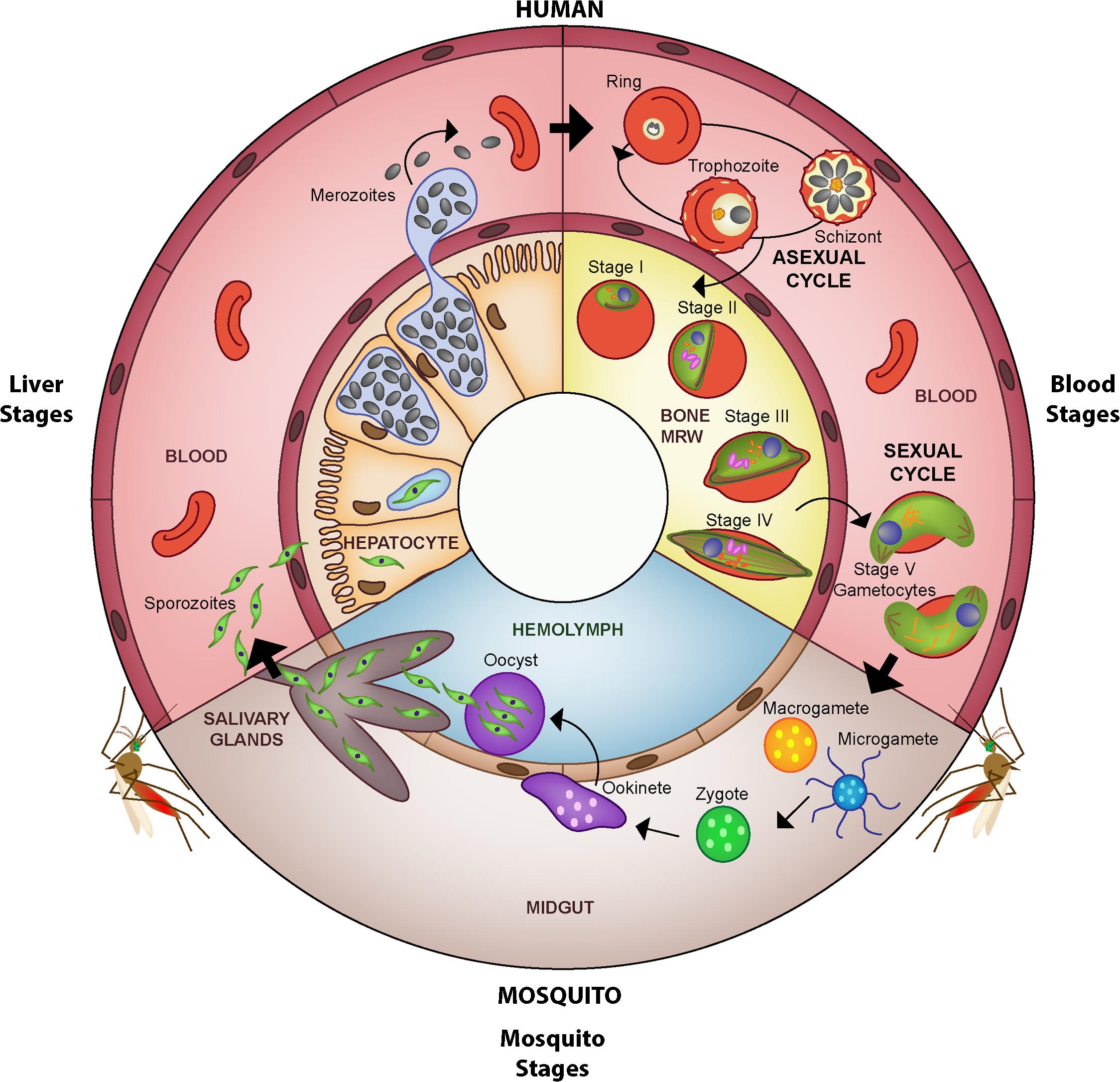 Life cycle of <i>Plasmodium falciparum</i>.