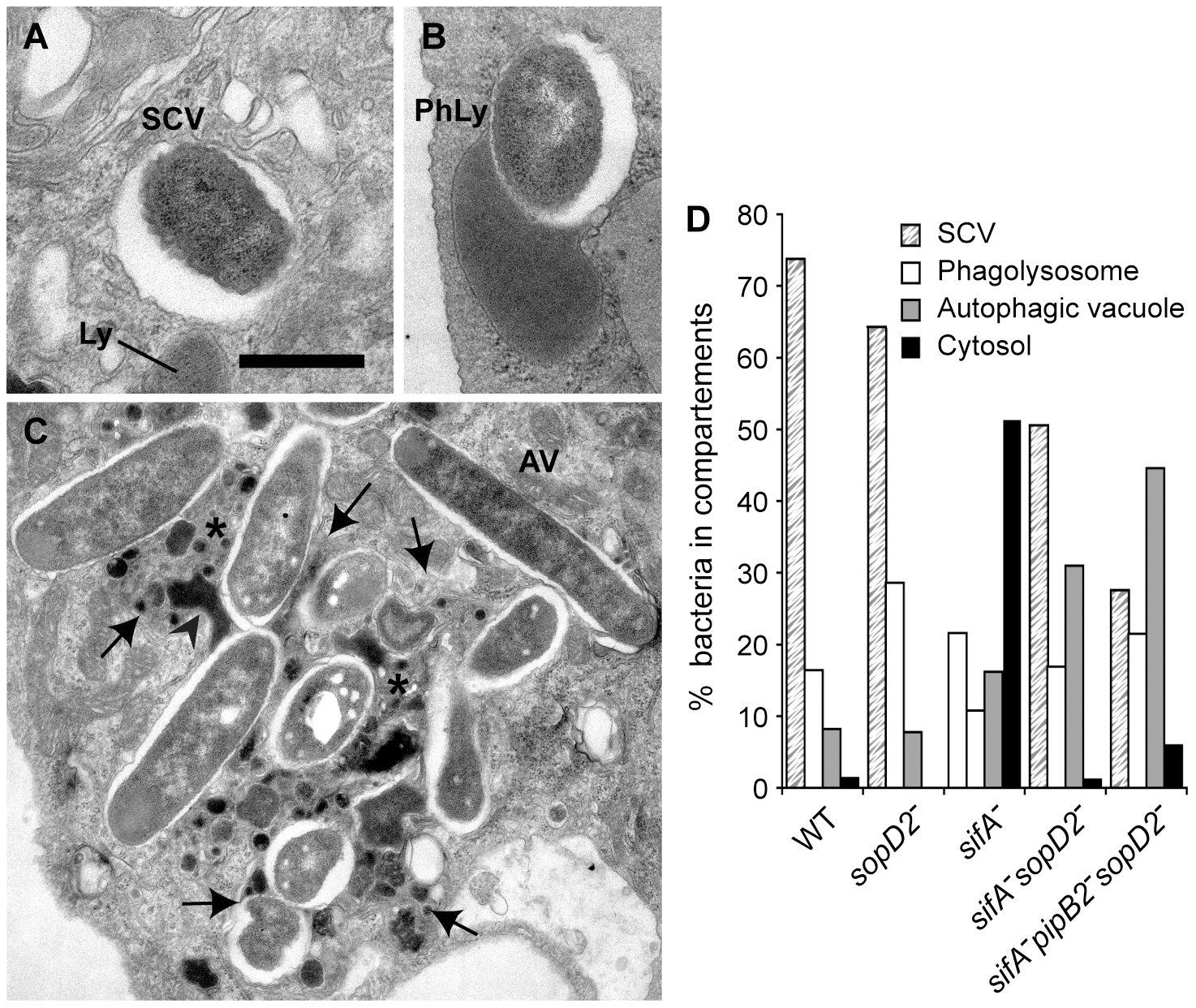 Morphological appearance of <i>Salmonella</i> vacuoles.