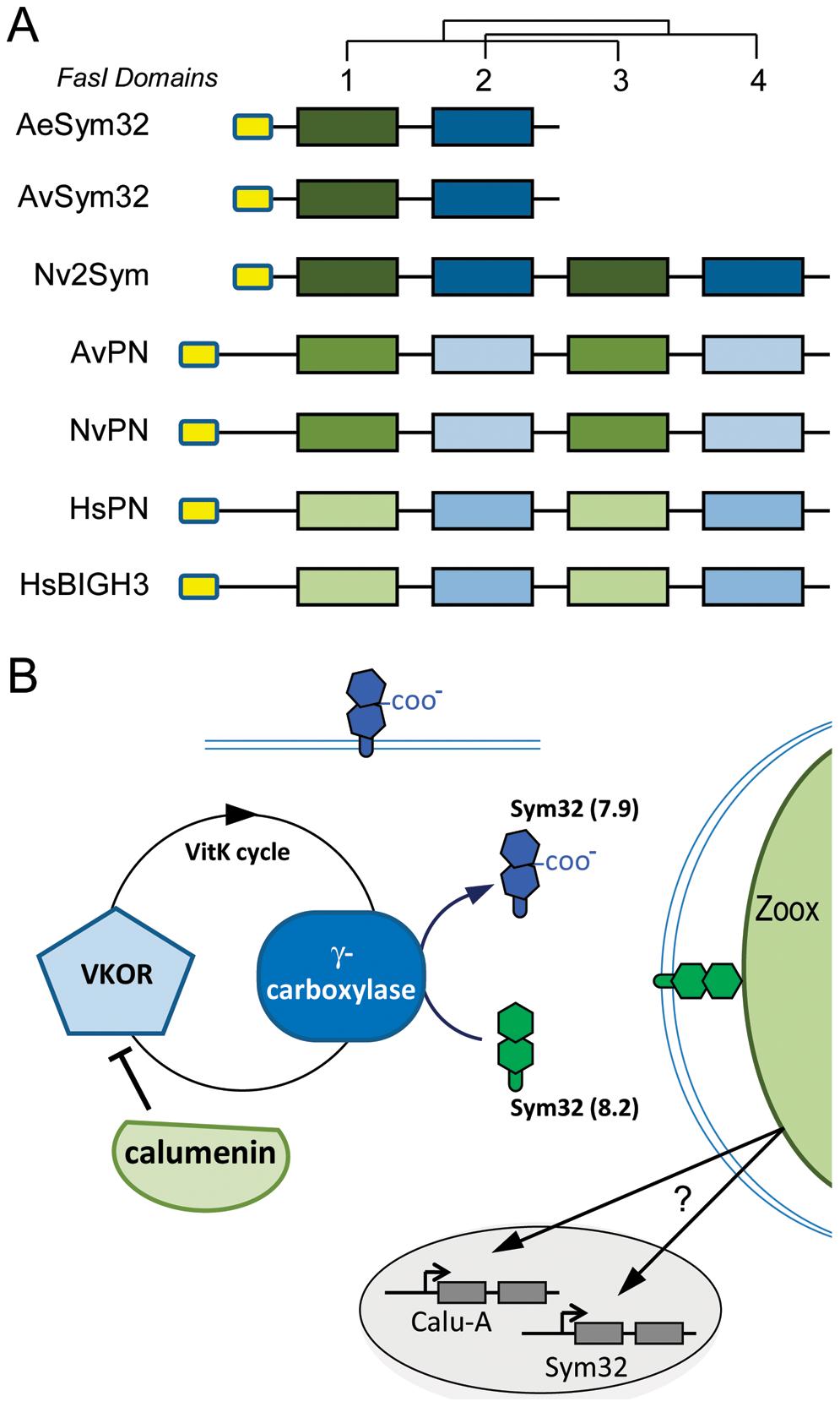 Sym32 gene duplication and putative γ-carboxylation regulation model.
